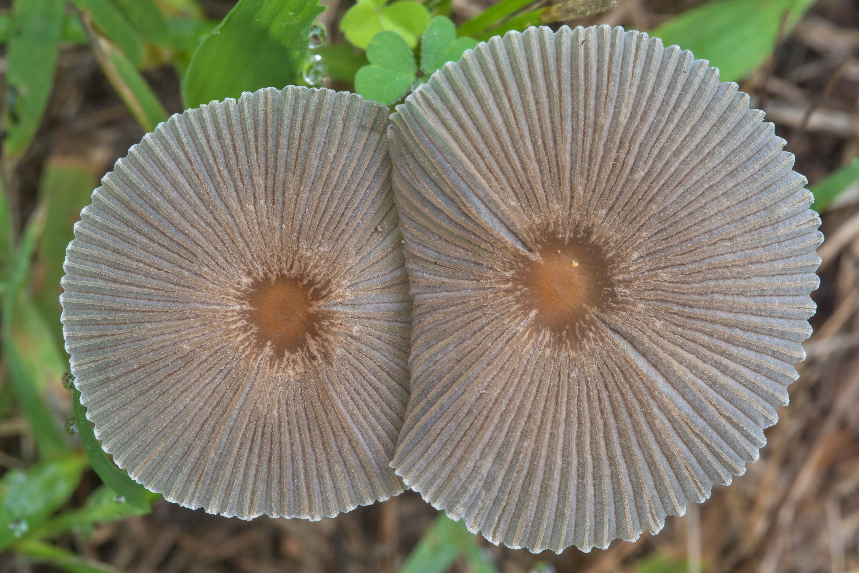 Pleated inkcap mushrooms (Parasola plicatilis...Ashburn St.. College Station, Texas