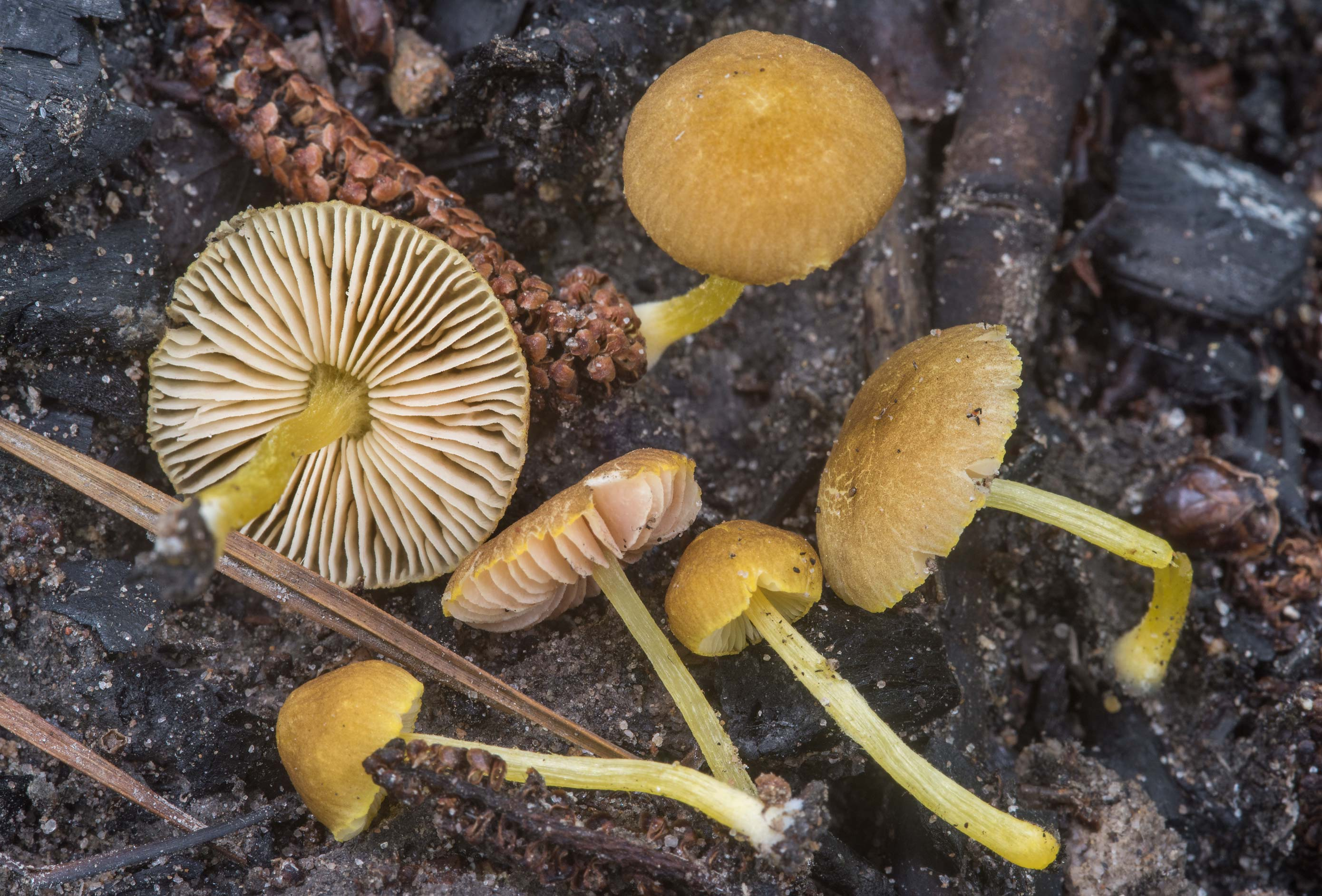 Pluteus chrysophlebius mushrooms on a site of a...Forest, near Huntsville. Texas
