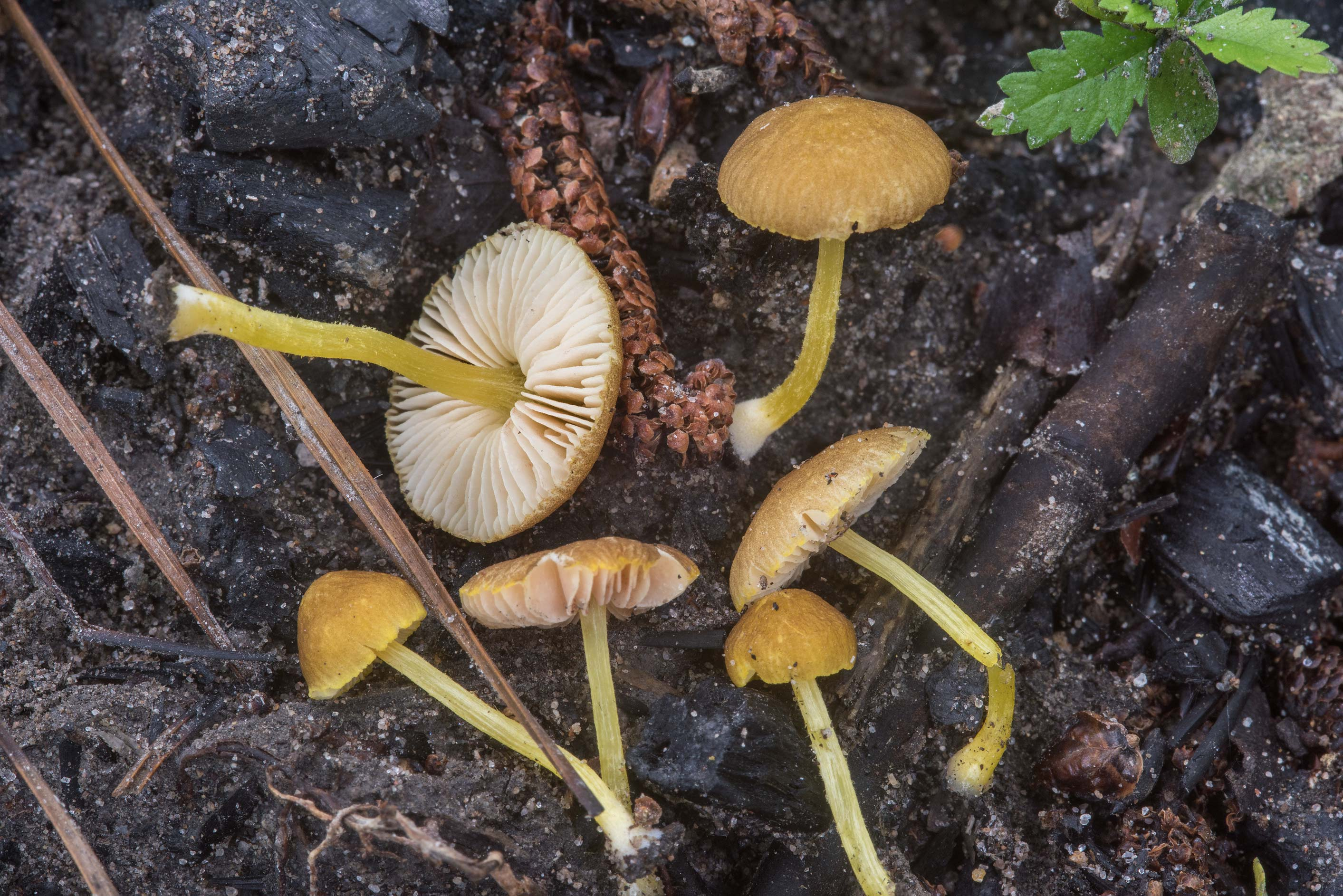 Pluteus chrysophlebius mushrooms growing on...Forest, near Huntsville. Texas