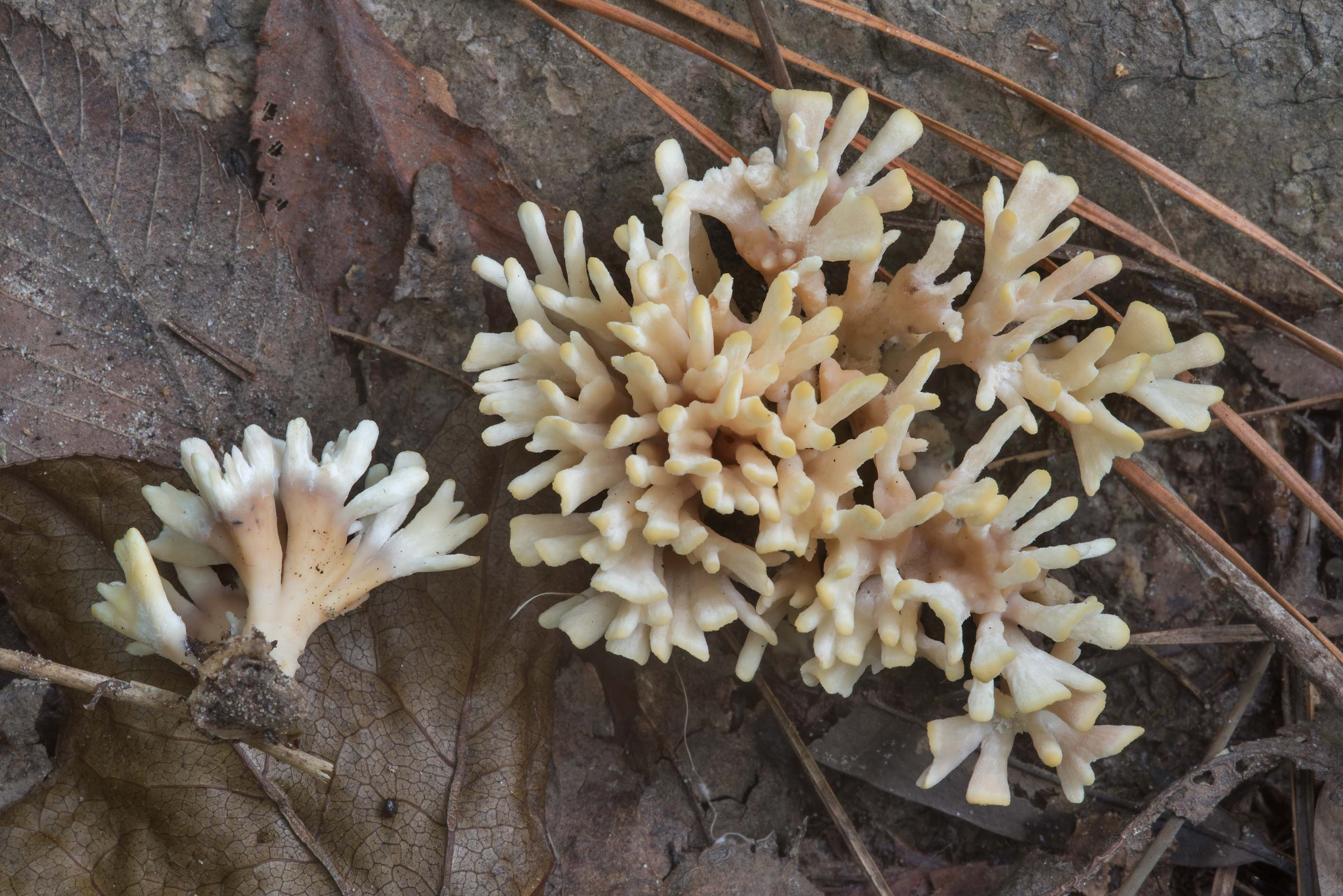 Upper view of false coral fungus (Tremellodendron...Forest, near Huntsville. Texas