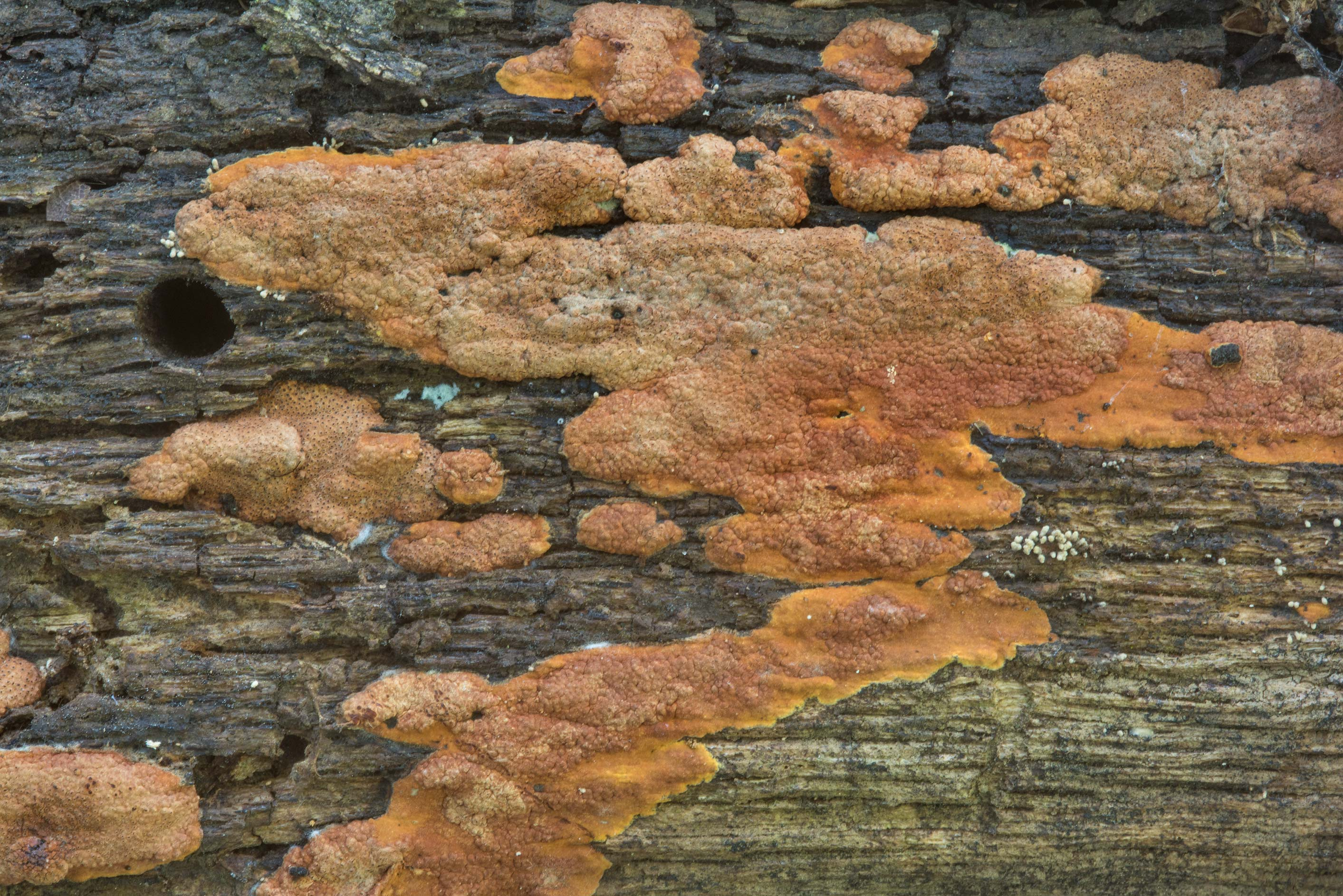 Pattern of brown crust fungus (Hypoxylaceae) on a...Creek Park. College Station, Texas