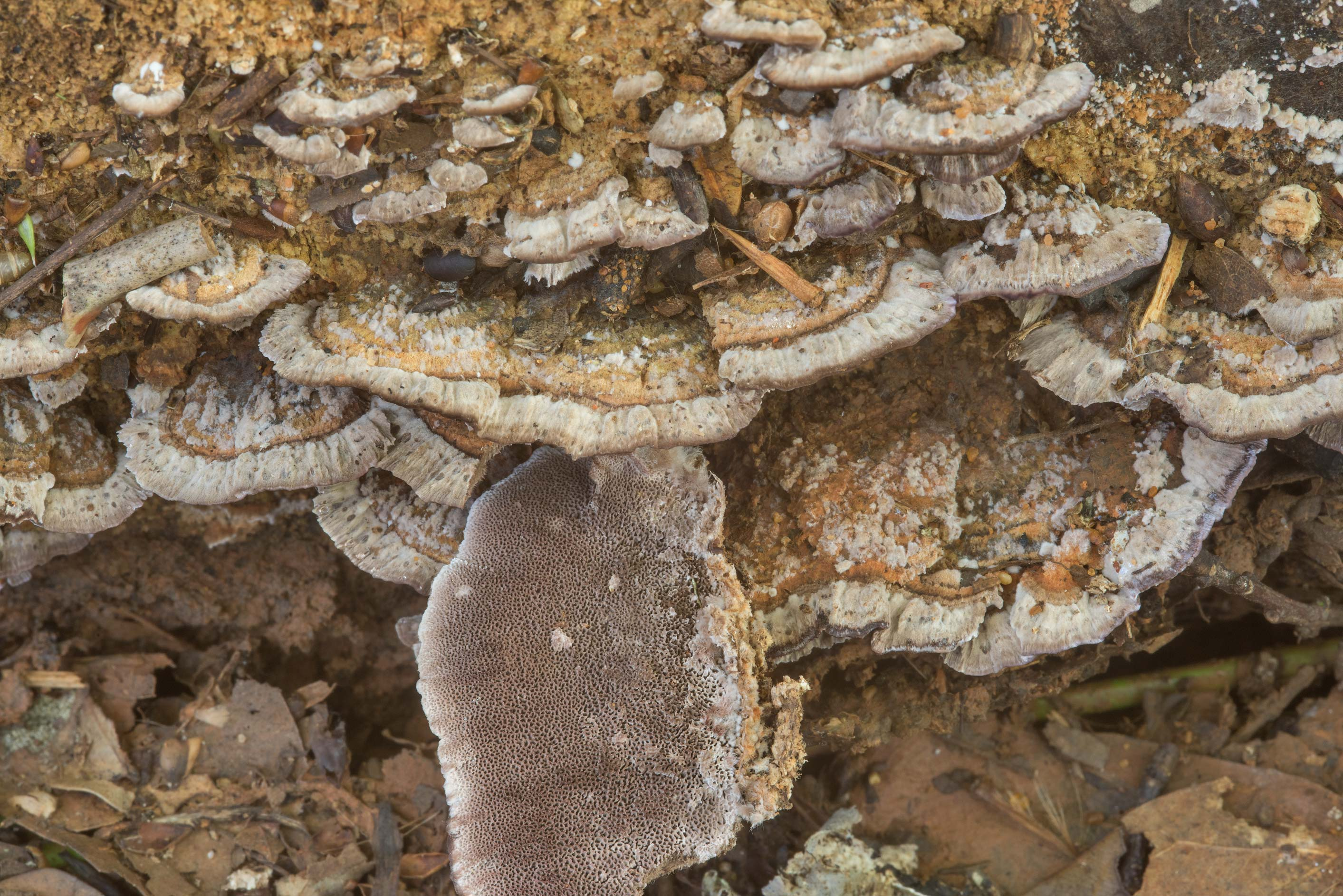 Polypore mushrooms Trichaptum sector in Lick Creek Park. College Station, Texas
