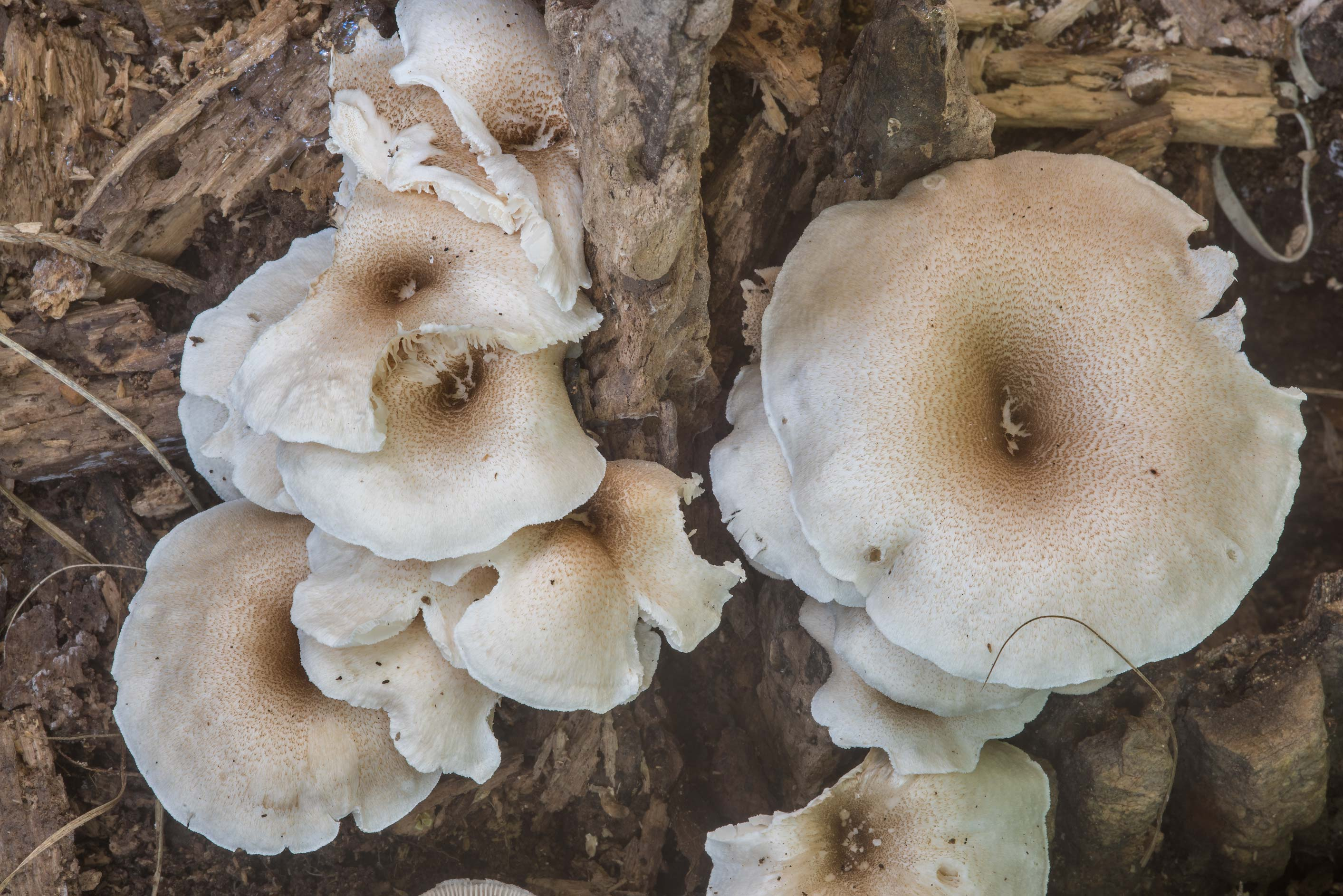 Tiger sawgill mushrooms (Lentinus tigrinus) on a...Creek Park. College Station, Texas