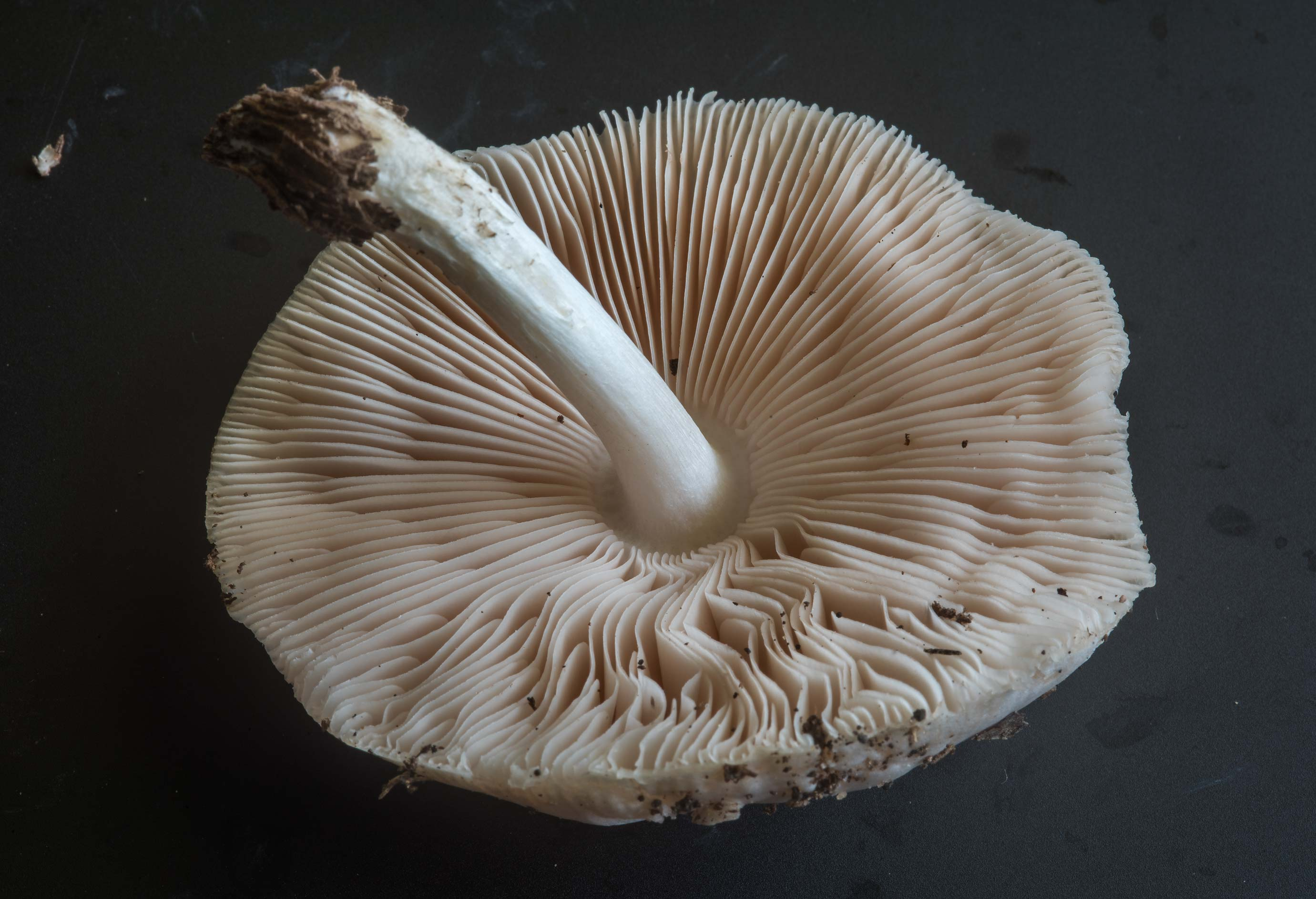 Gills of Pluteus mushroom taken from Lick Creek Park. College Station, Texas