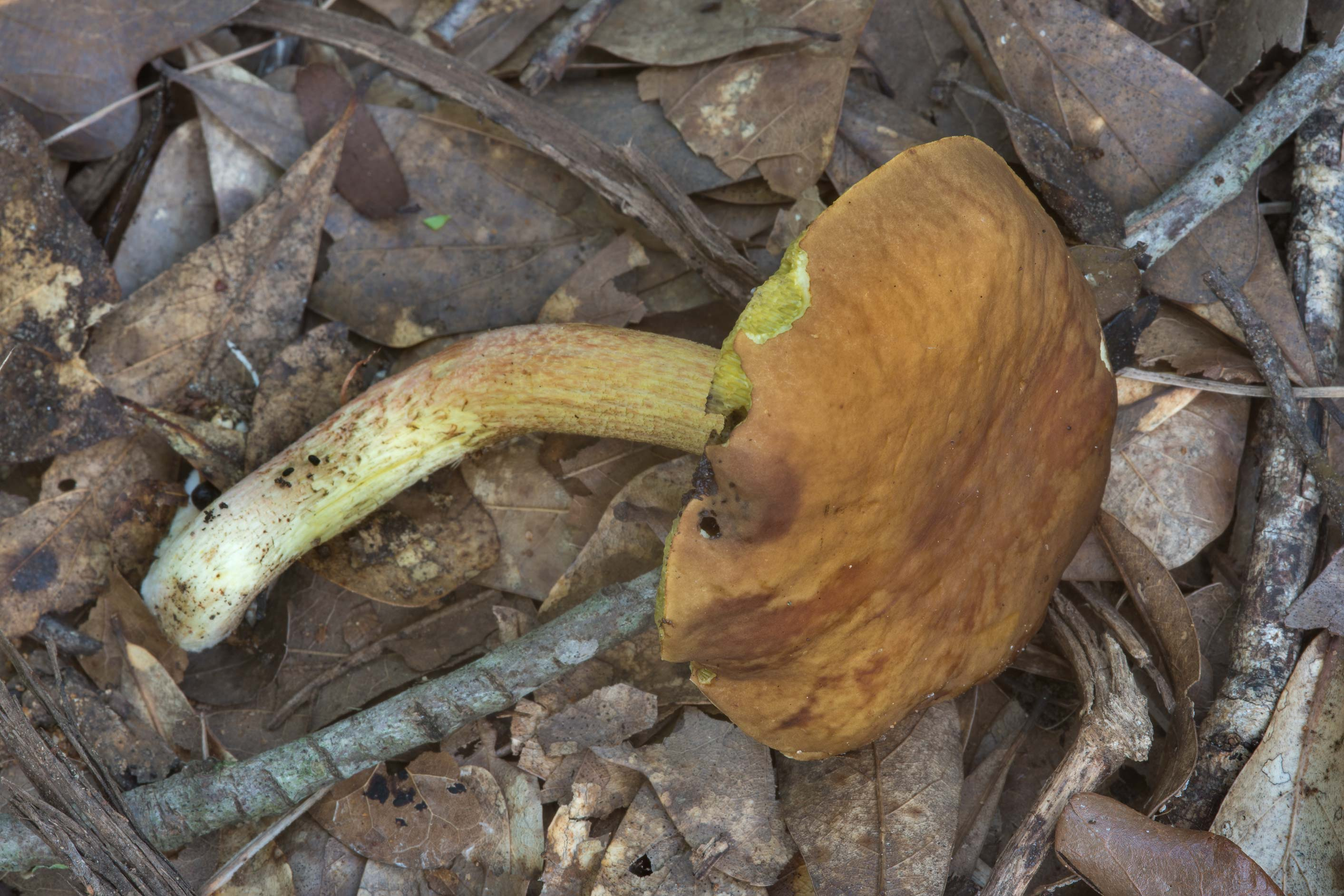 Side view of ashtray bolete mushroom (Leccinum...Creek Park. College Station, Texas