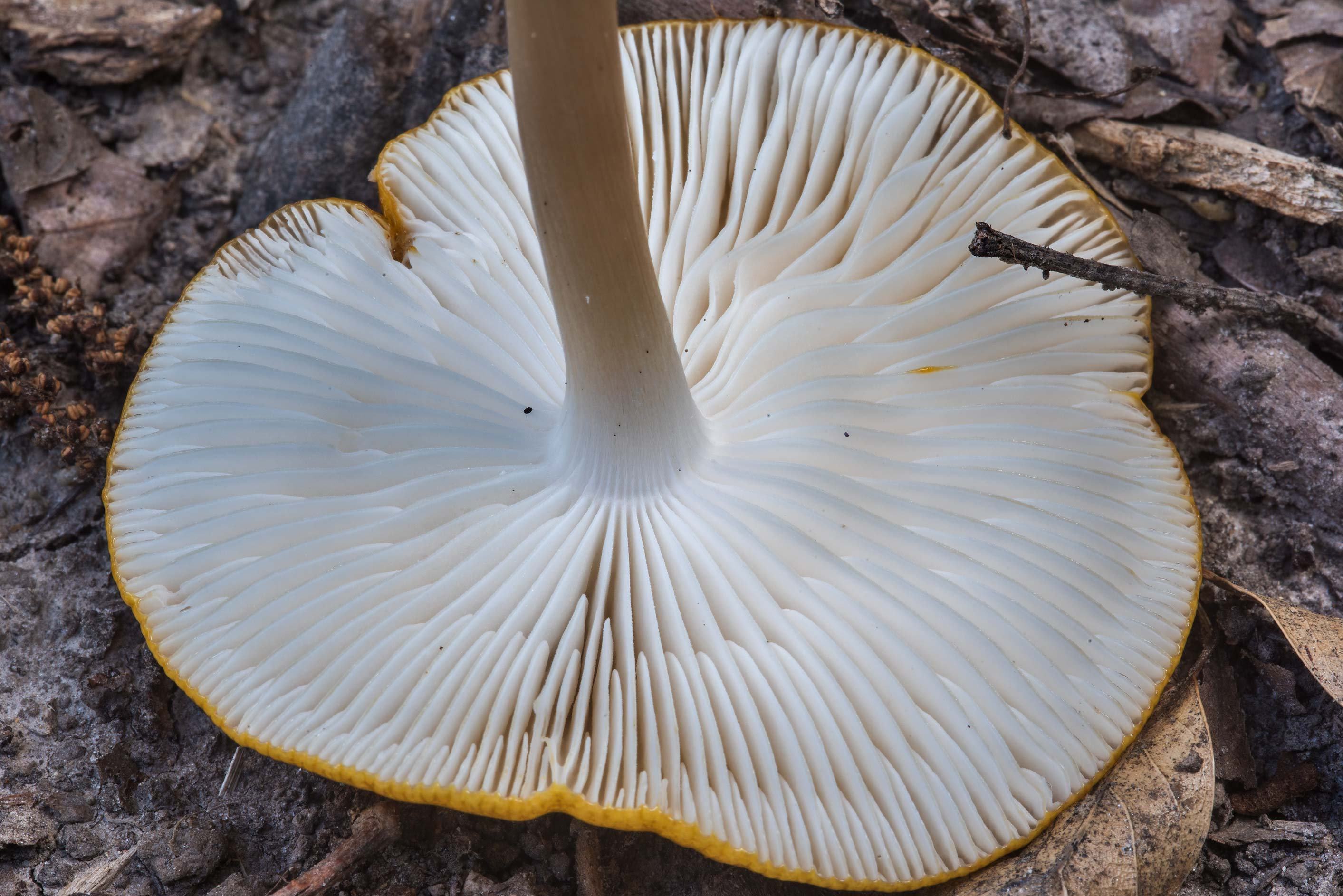 Gills of a rooted agaric mushroom Hymenopellis...Creek Park. College Station, Texas