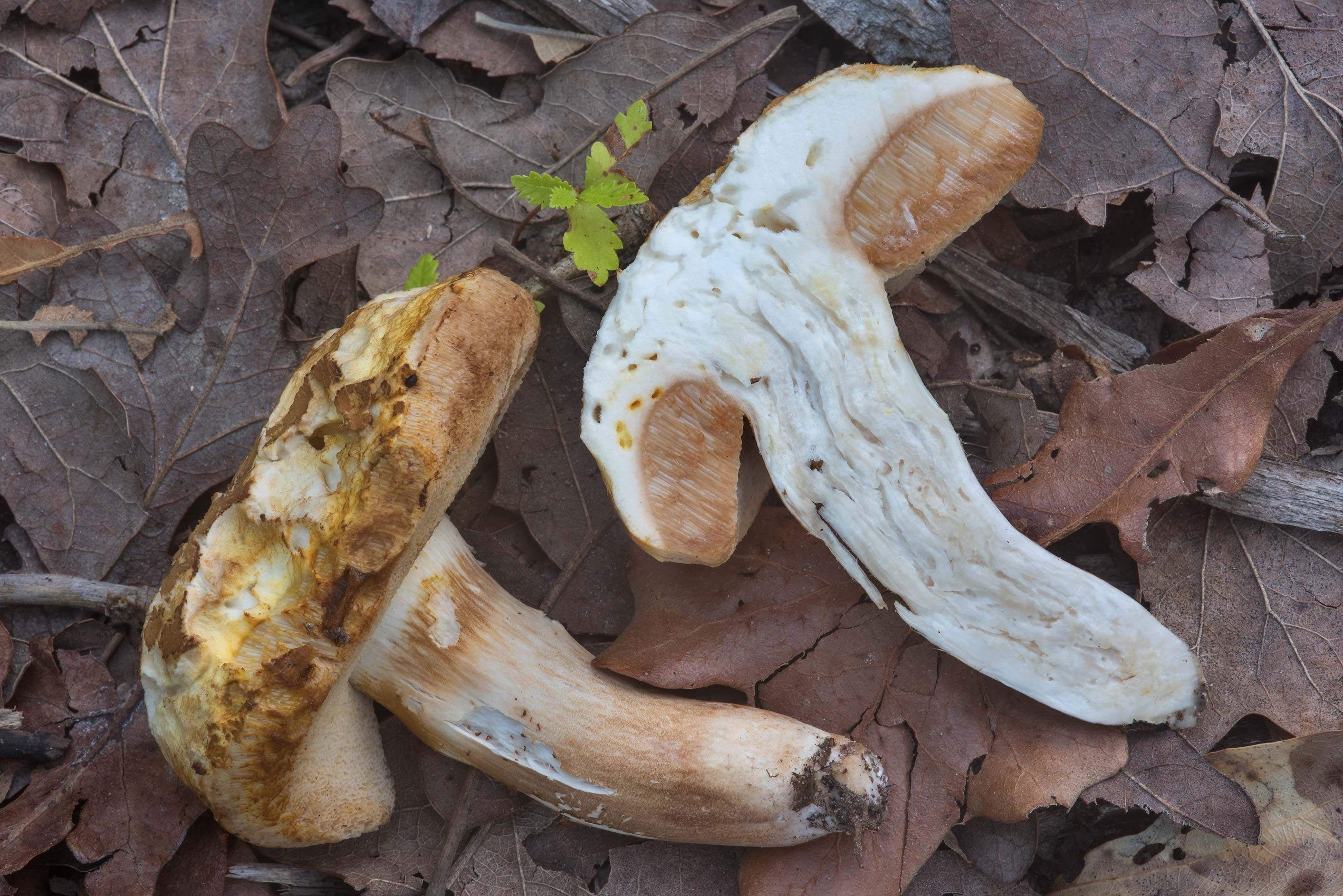 Dissected Xanthoconium affine mushroom in Lick Creek Park. College Station, Texas