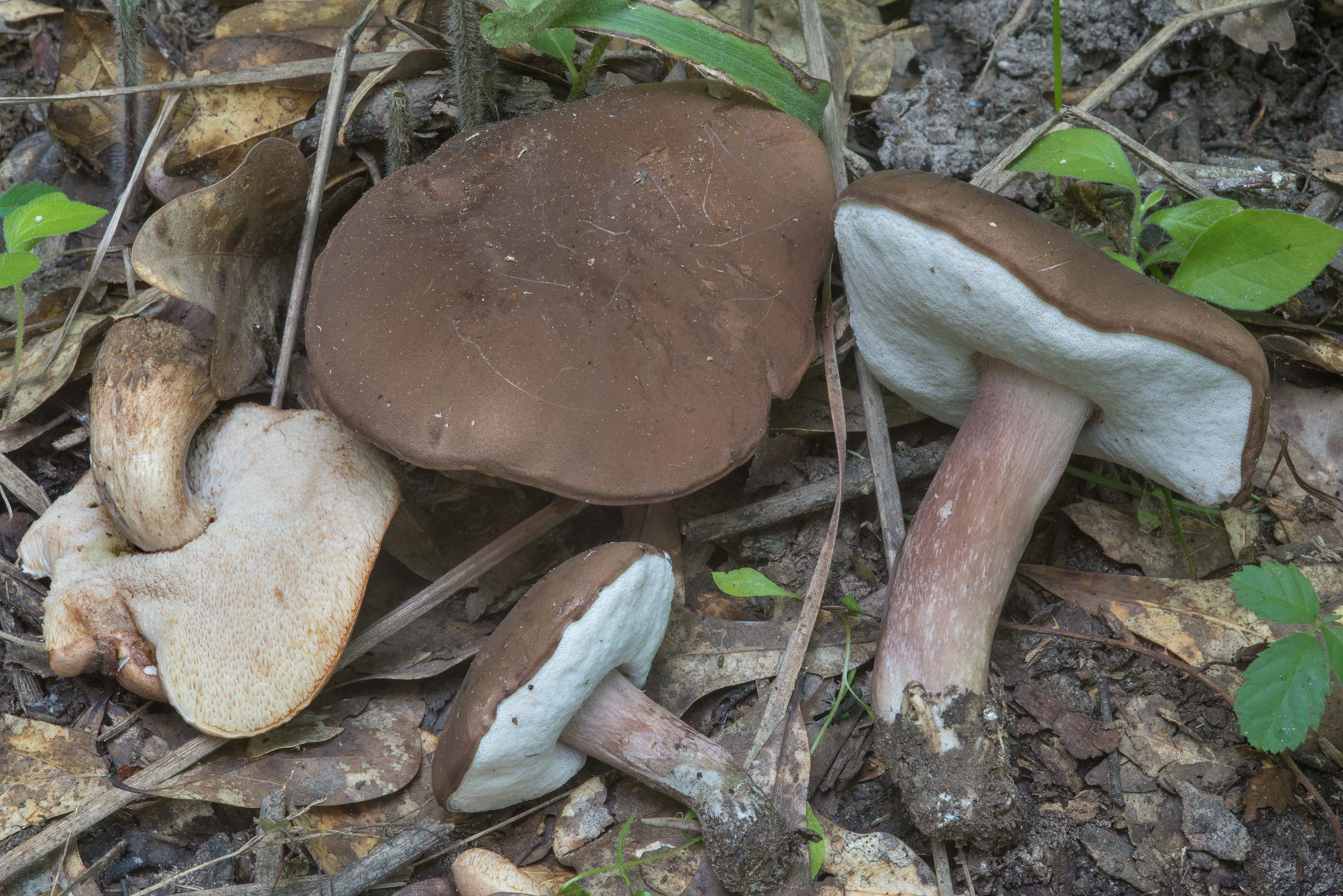 Group of violet-grey bolete mushrooms (Tylopilus...Creek Park. College Station, Texas