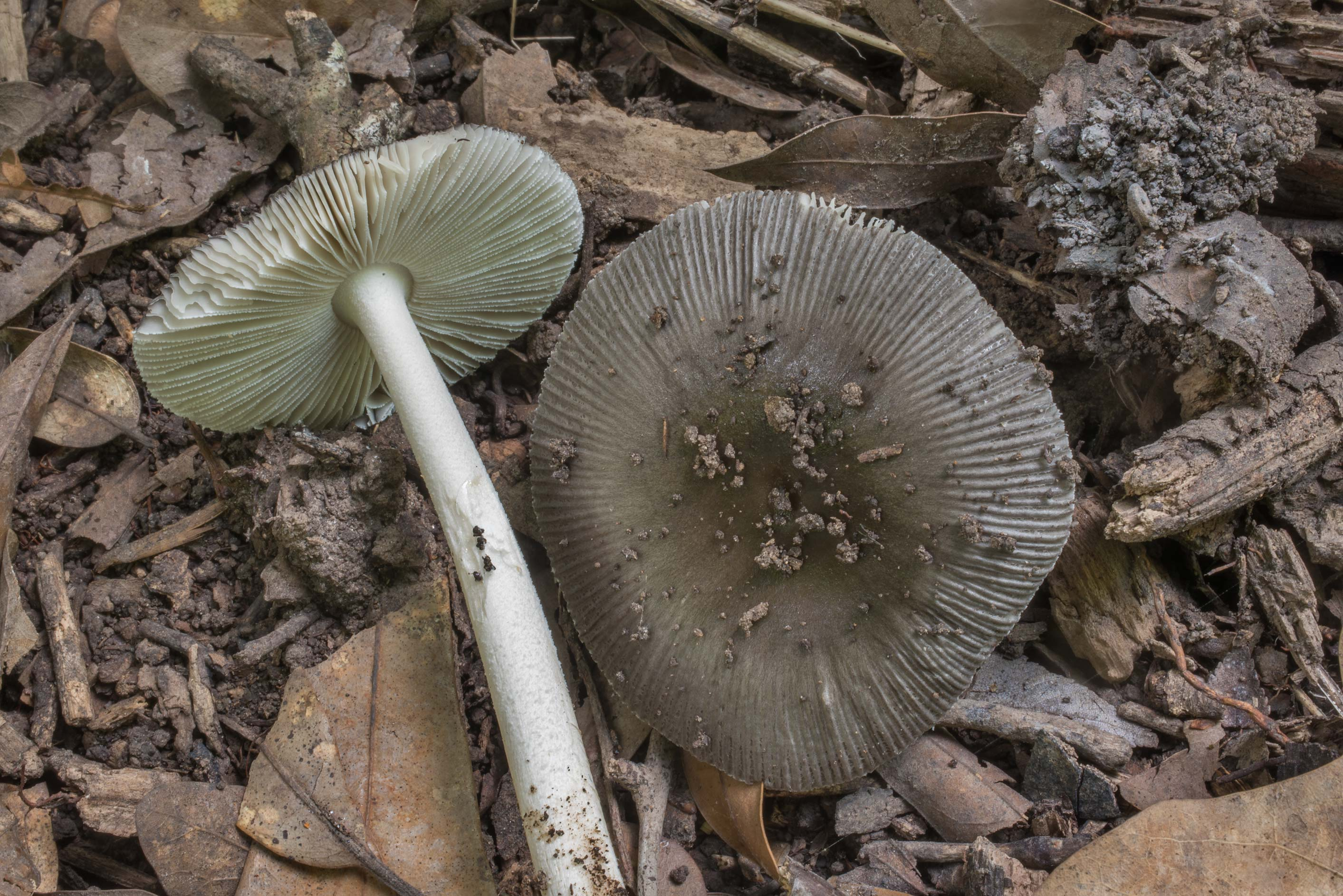 Grey grisette mushrooms (Amanita vaginata) in Lick Creek Park. College Station, Texas