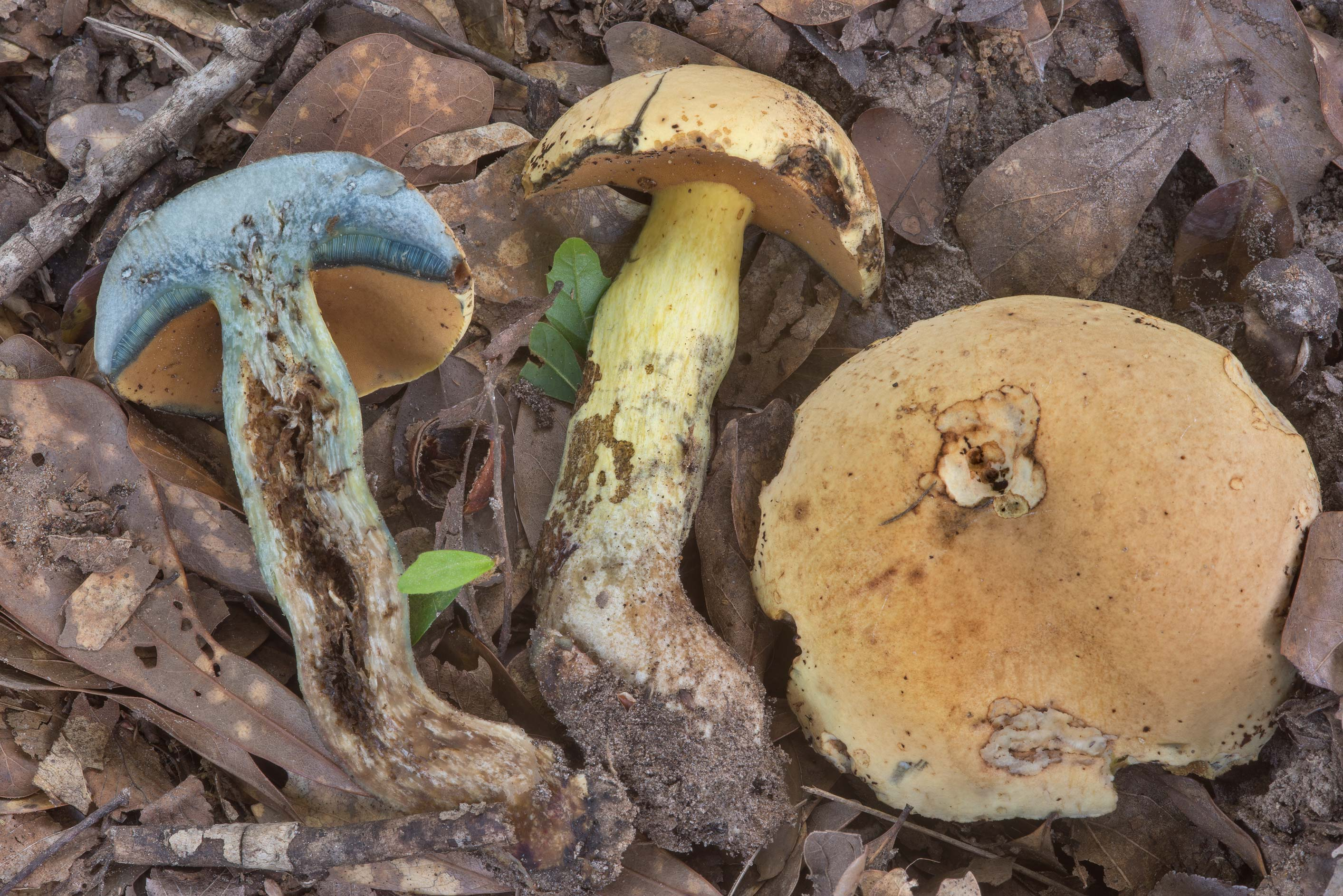 Dissected bolete mushrooms Neoboletus...Creek Park. College Station, Texas
