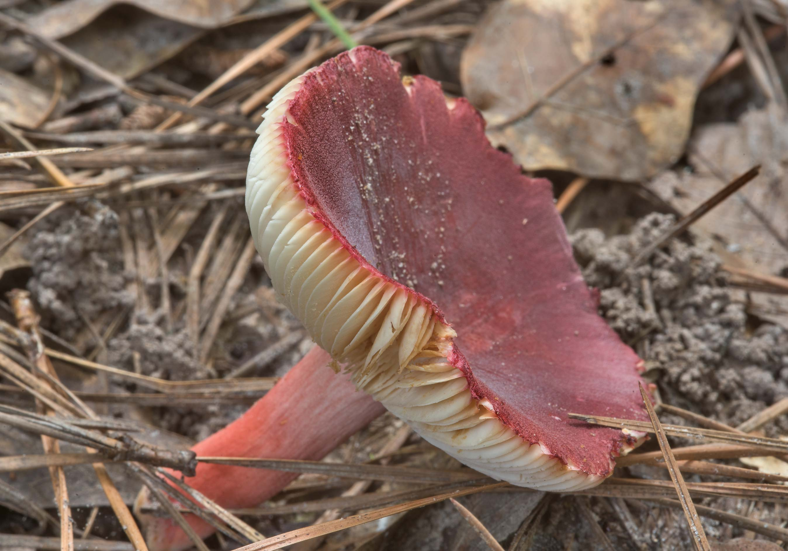 Brittlegill mushroom Russula mariae on Caney...Forest, near Huntsville. Texas