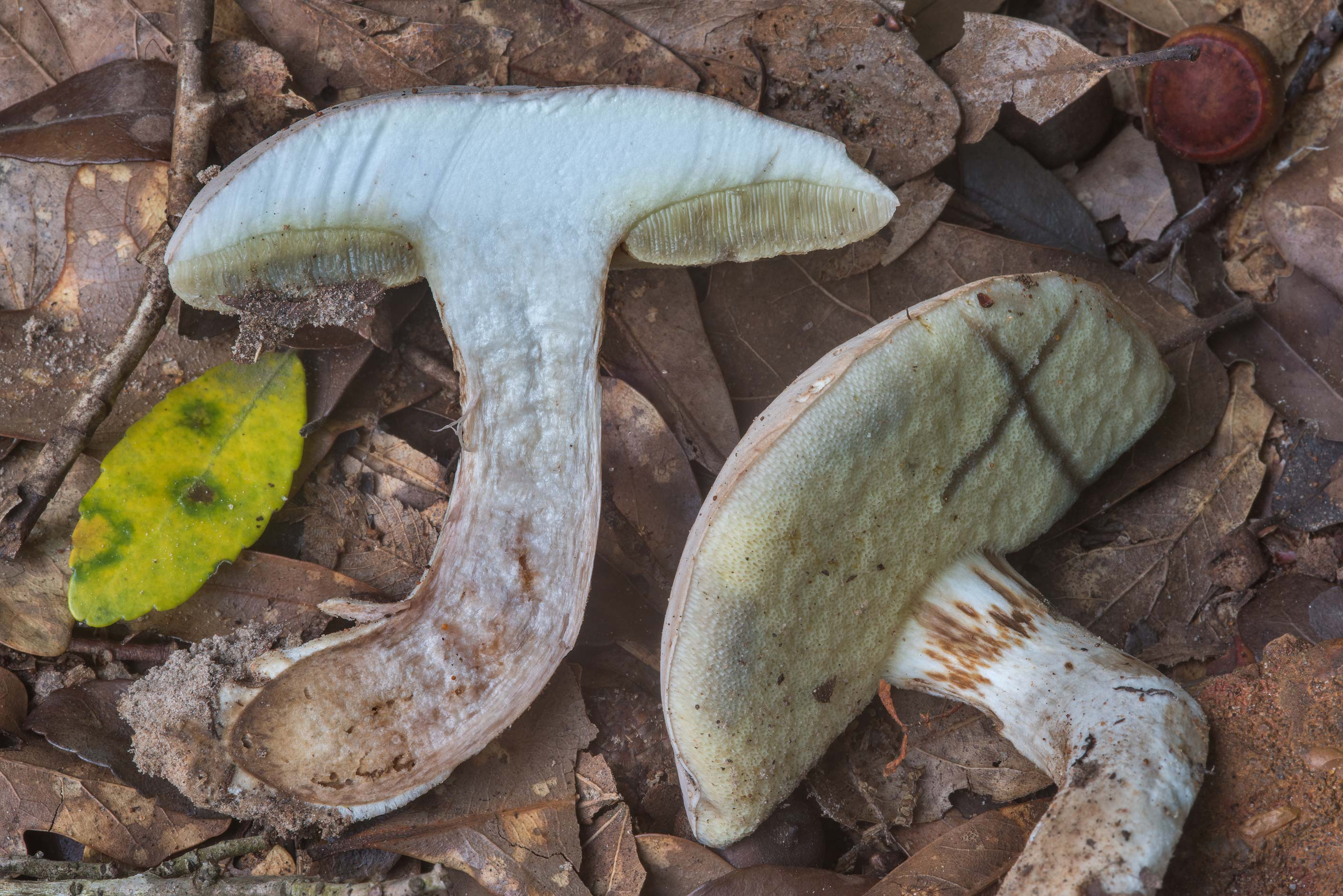 Dissected pale bolete mushroom (Boletus pallidus...Creek Park. College Station, Texas