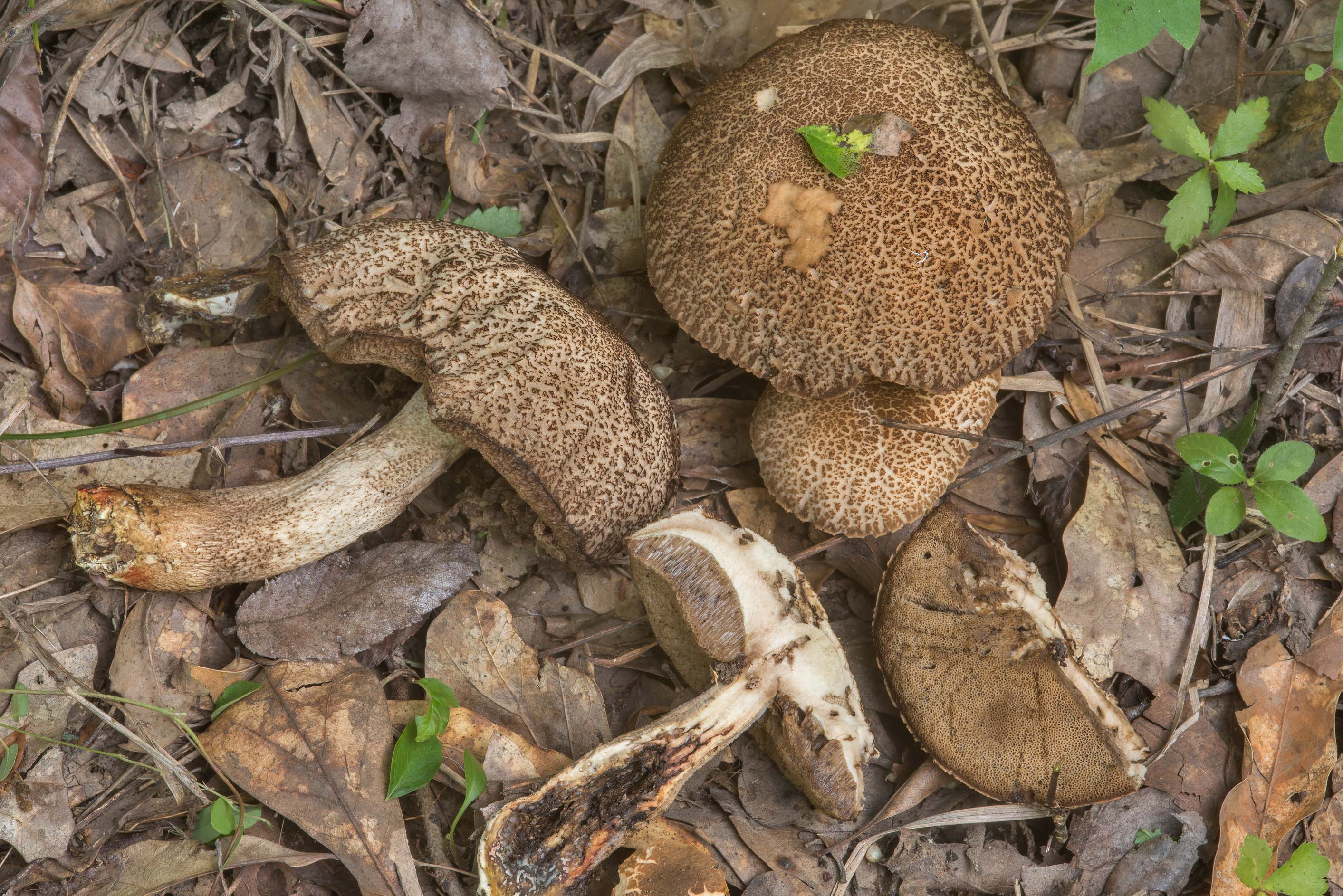 Group of mature saffron bolete mushrooms...Creek Park. College Station, Texas