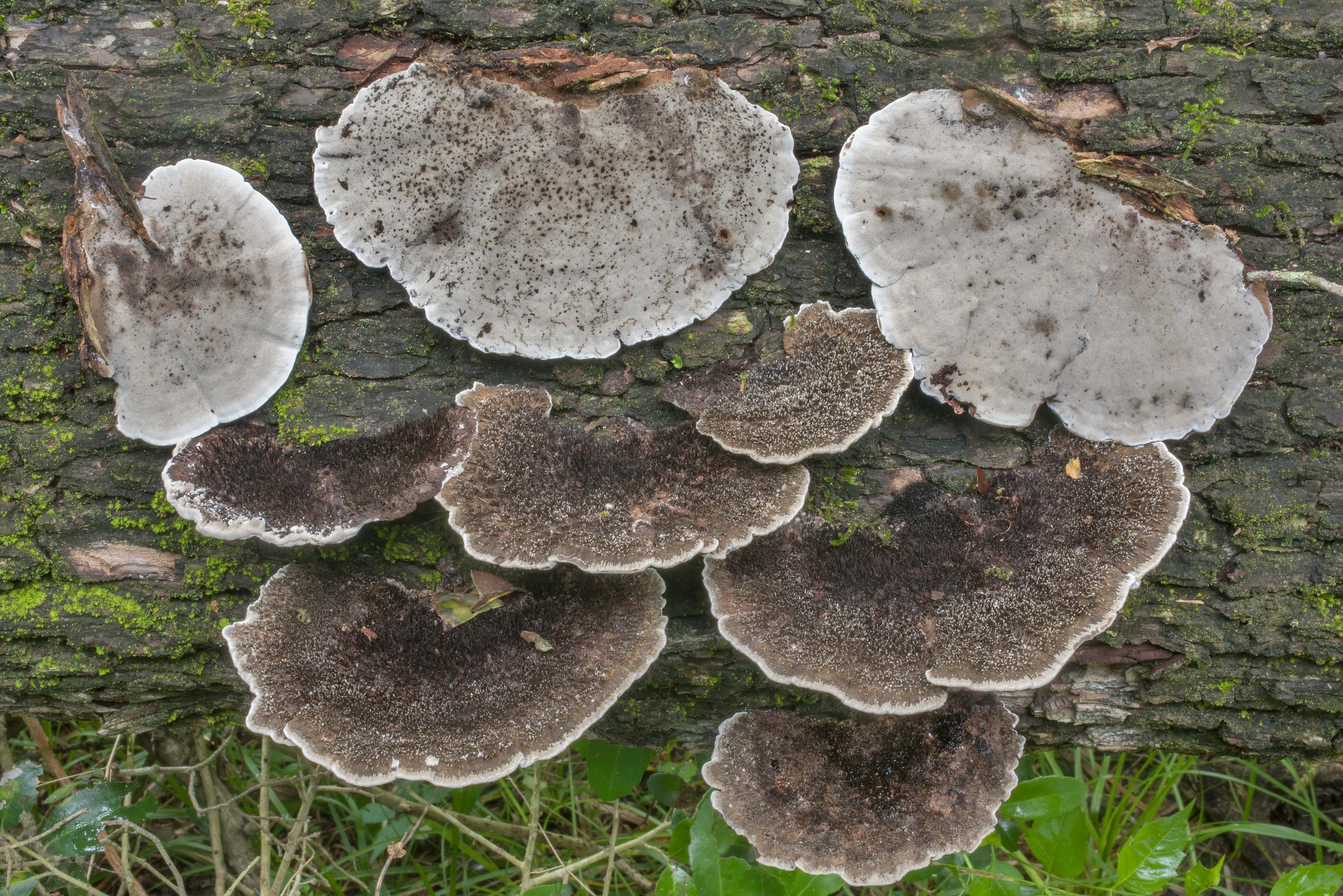 Polypore mushrooms Hexagonia hydnoides on a...Creek Park. College Station, Texas