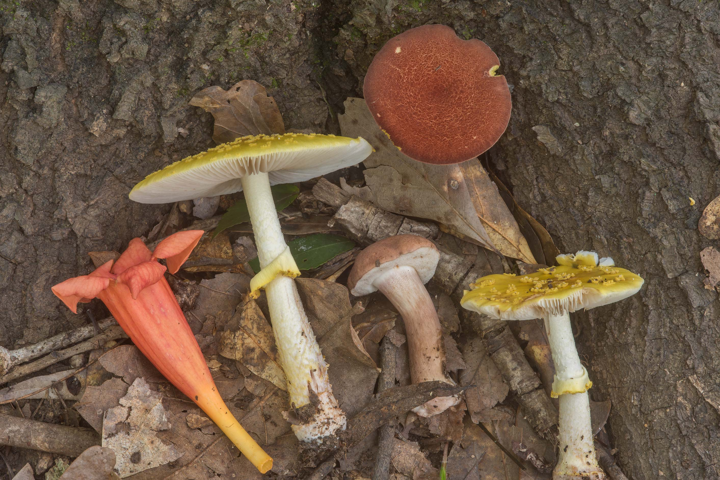 Yellow American blusher (Amanita flavorubens...Creek Park. College Station, Texas