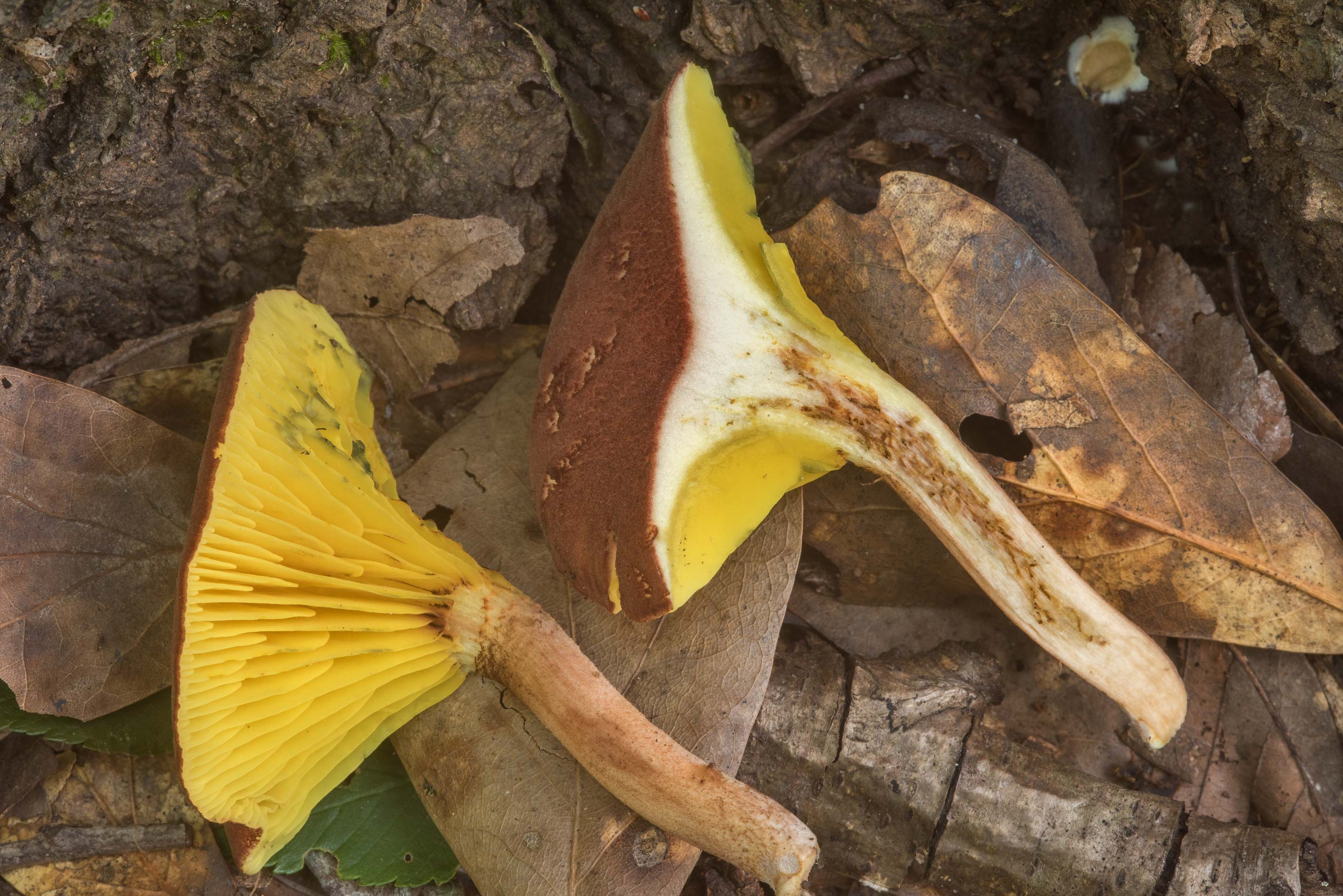 Dissected gilled bolete mushroom Phylloporus...Creek Park. College Station, Texas