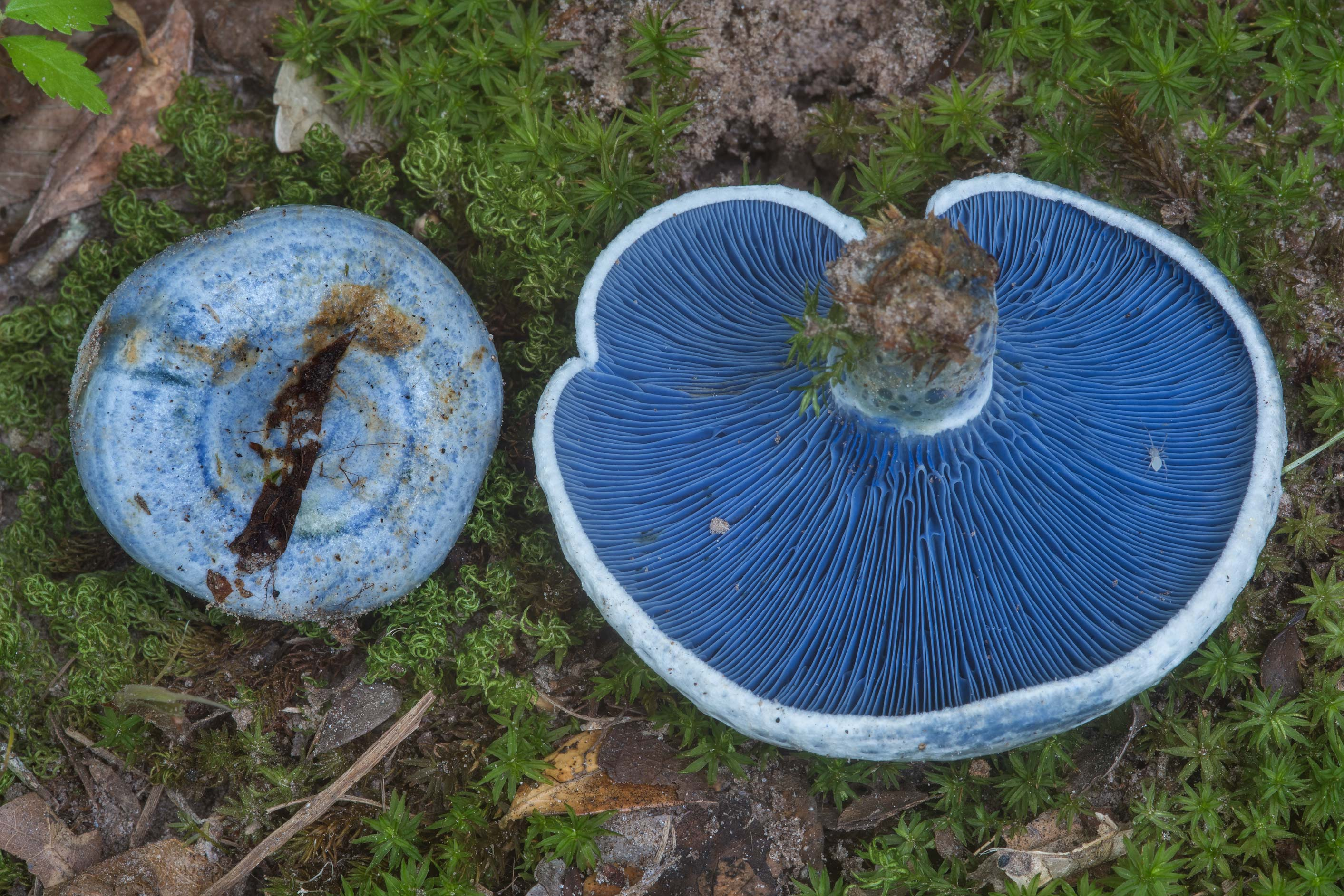 Gills of blue milkcap mushrooms (Lactarius indigo...Creek Park. College Station, Texas