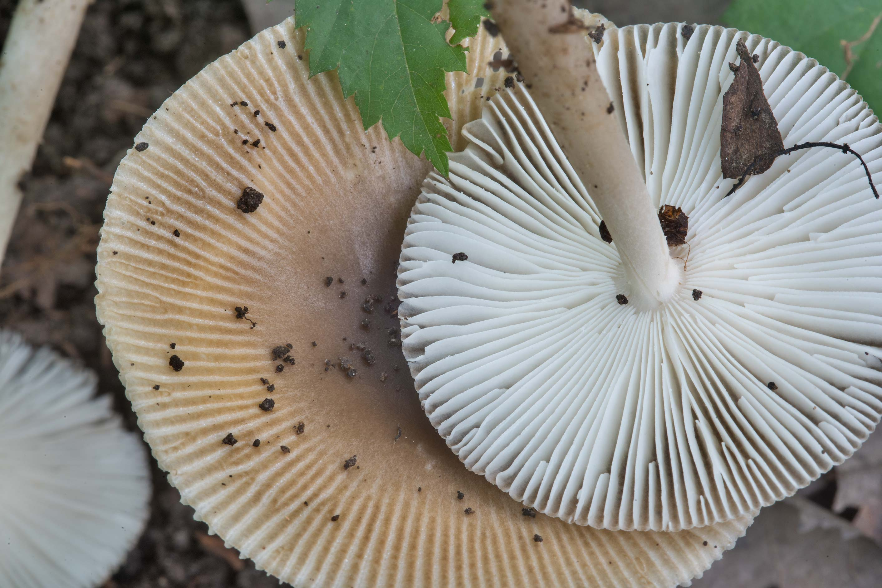 Gills of a grisette mushroom Amanita sect...Creek Park. College Station, Texas