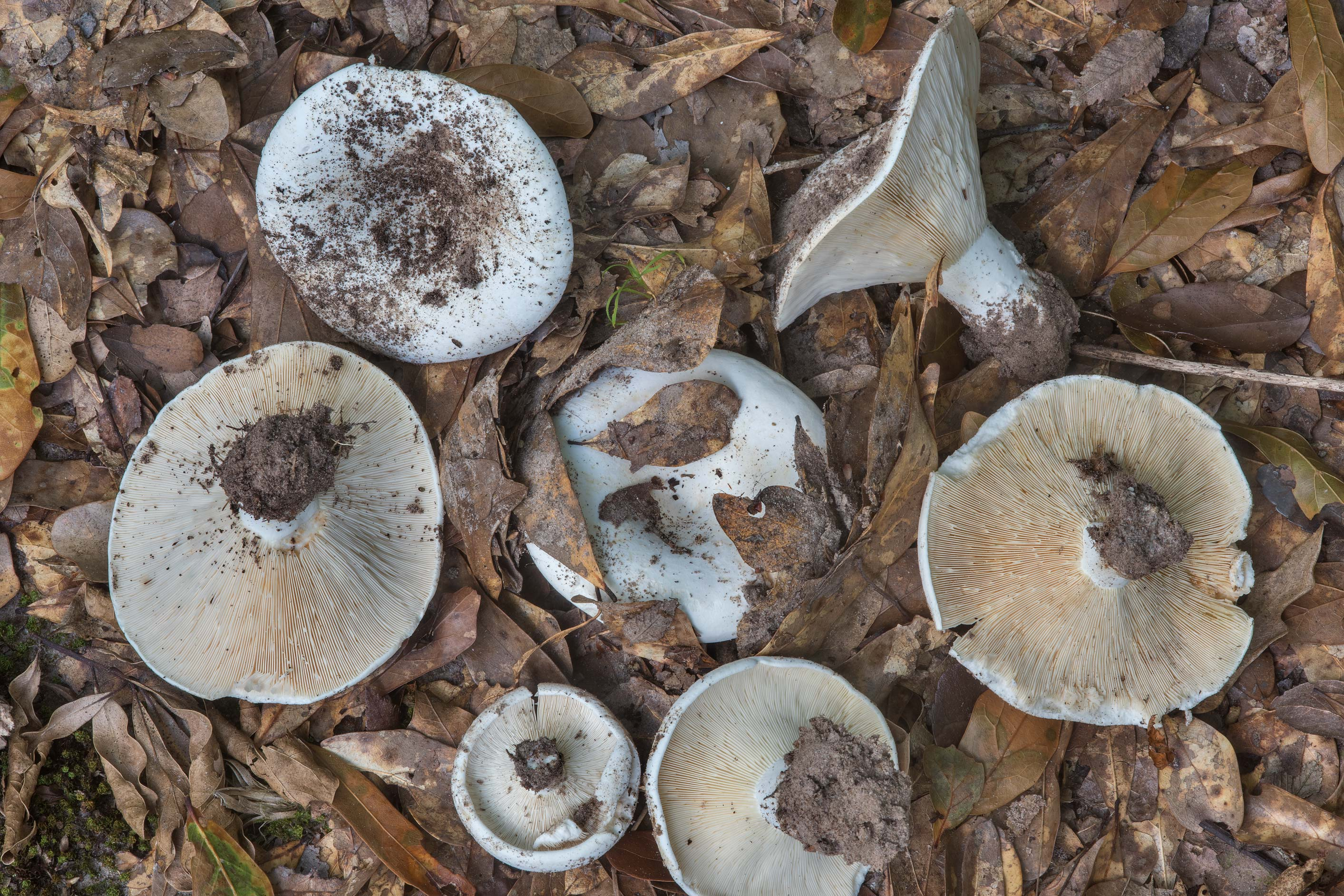 Milkcap mushrooms Lactarius piperatus (Lactifluus...Creek Park. College Station, Texas