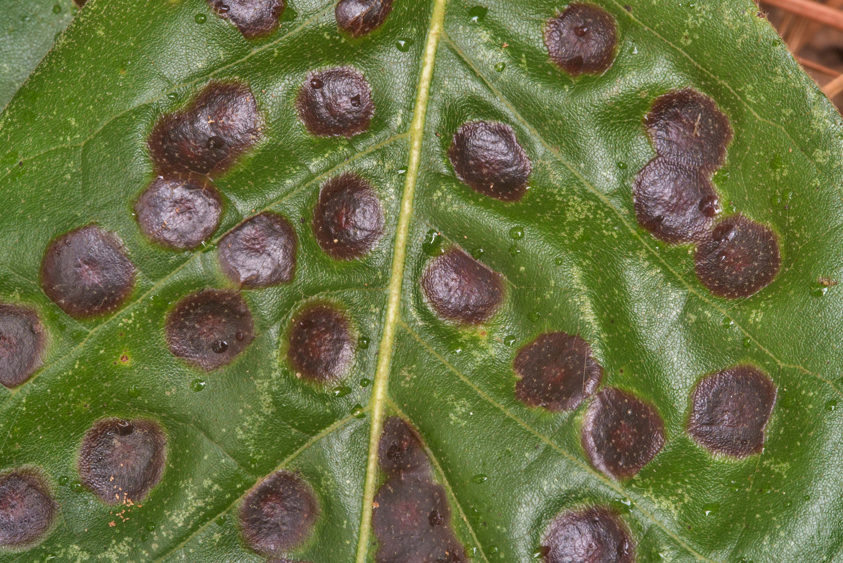 Close up of oak leaf anthracnose (leaf spot...Forest north from Montgomery. Texas