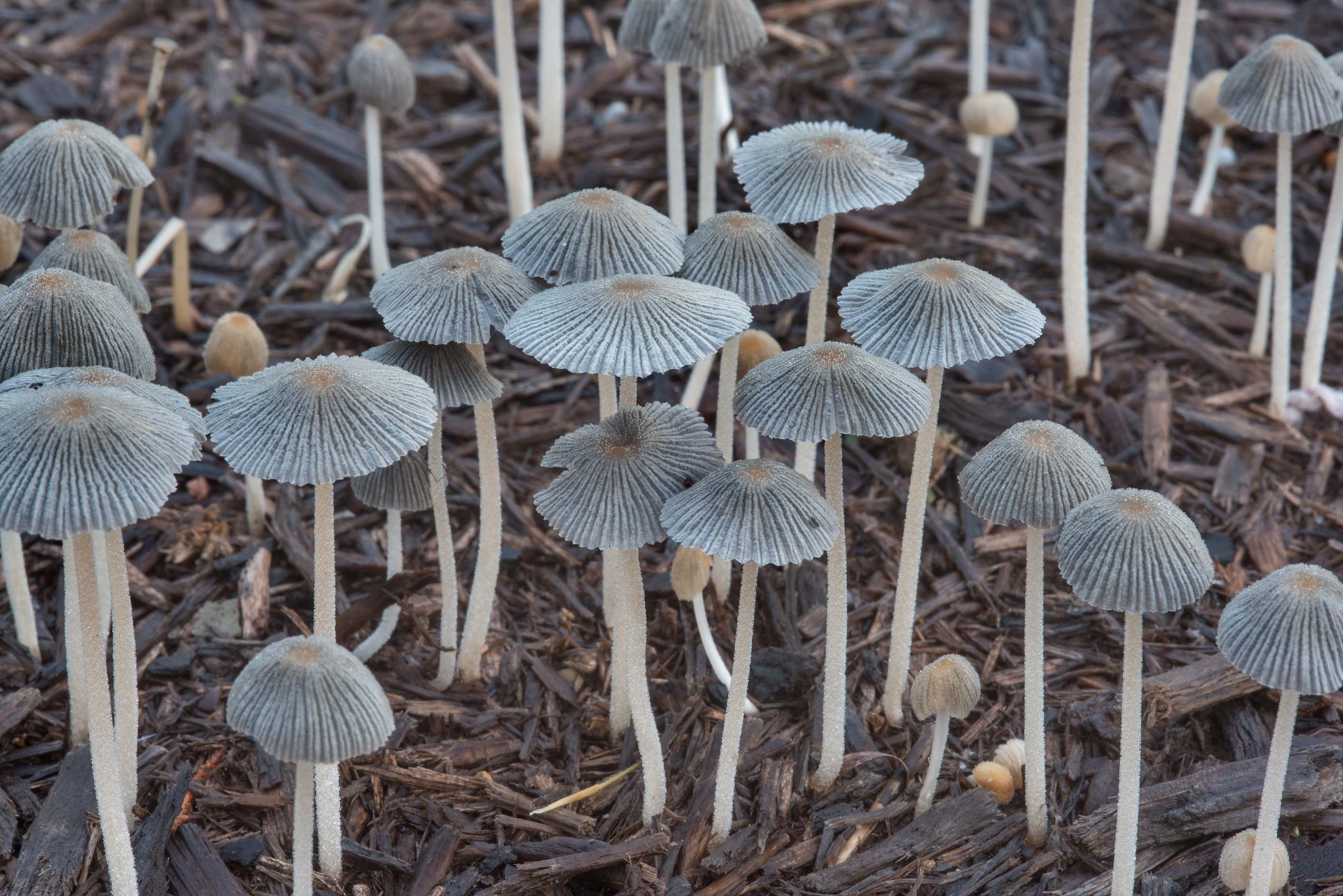 Pleated inkcap mushrooms (Parasola plicatilis) on...Creek Park. College Station, Texas