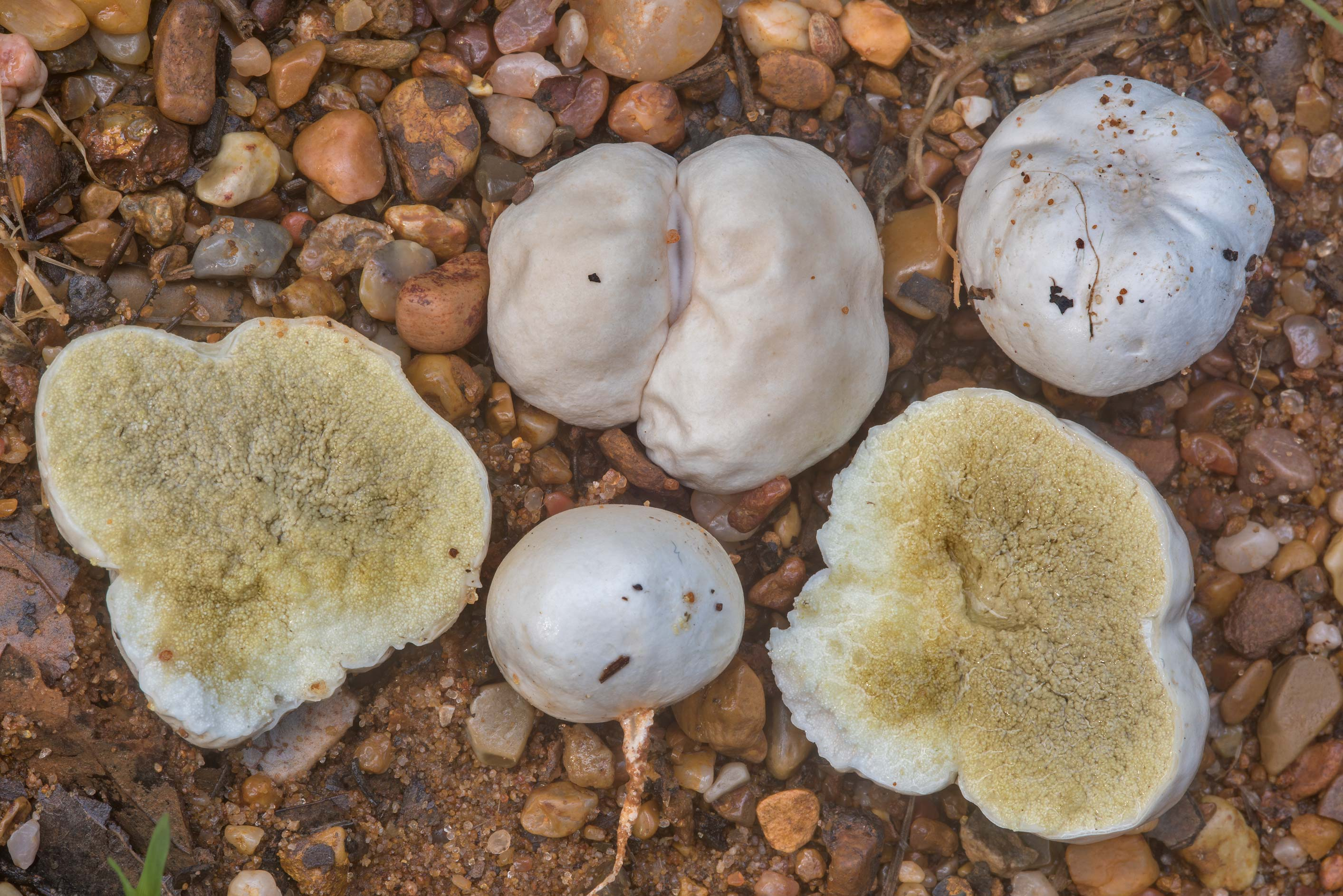 Puffball mushrooms Arachnion album on a wet sandy...Creek Park. College Station, Texas