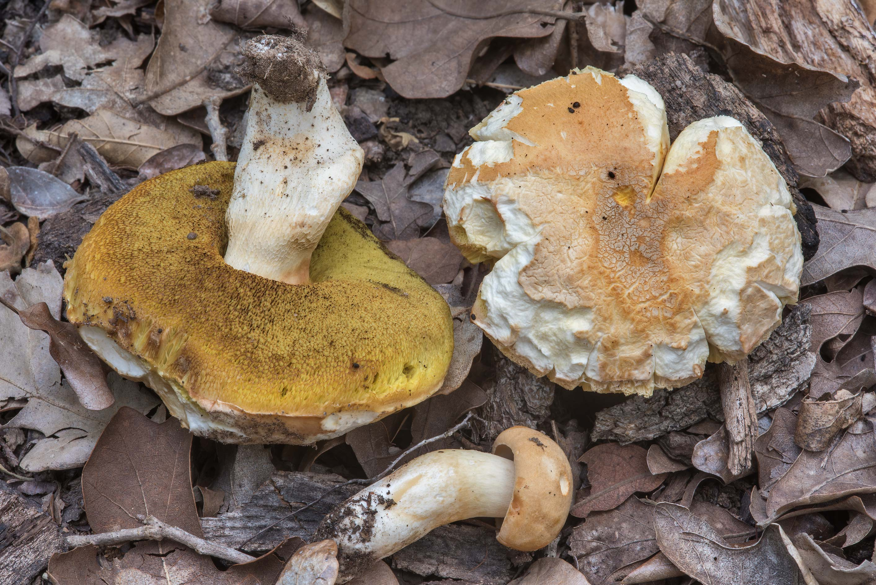 Various bolete mushrooms on Yaupon Loop Trail in Lick Creek Park. College Station, Texas