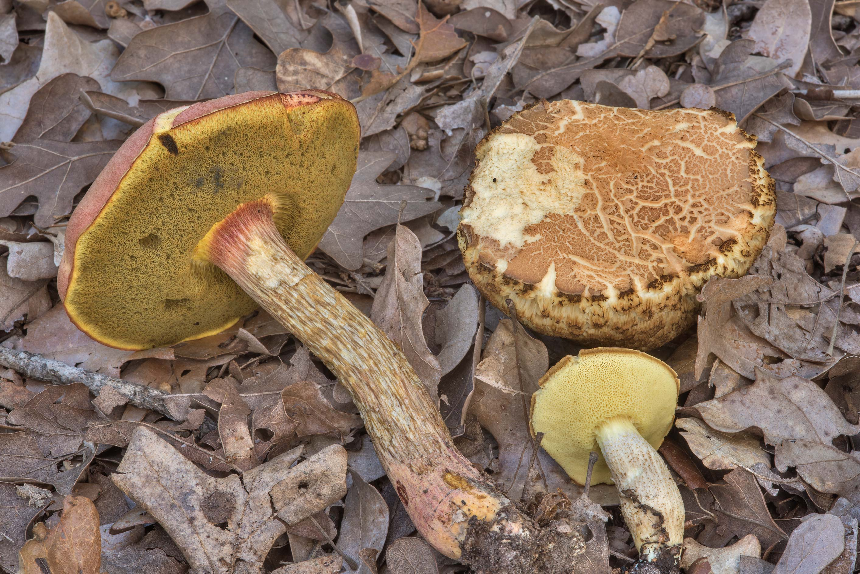 Pulchroboletus and other bolete mushrooms in Lick Creek Park. College Station, Texas