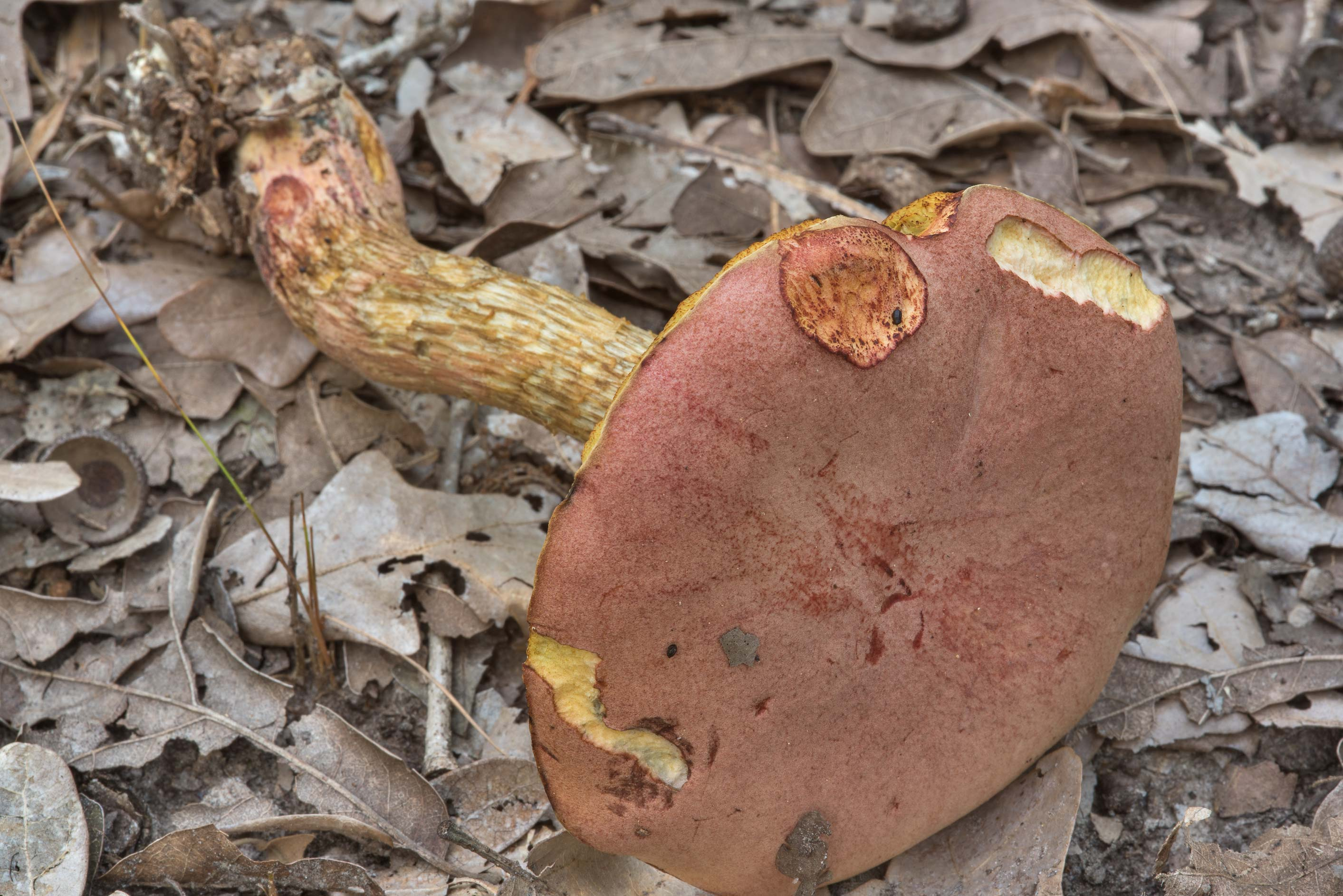 Cap of Pulchroboletus rubricitrinus mushroom in Lick Creek Park. College Station, Texas