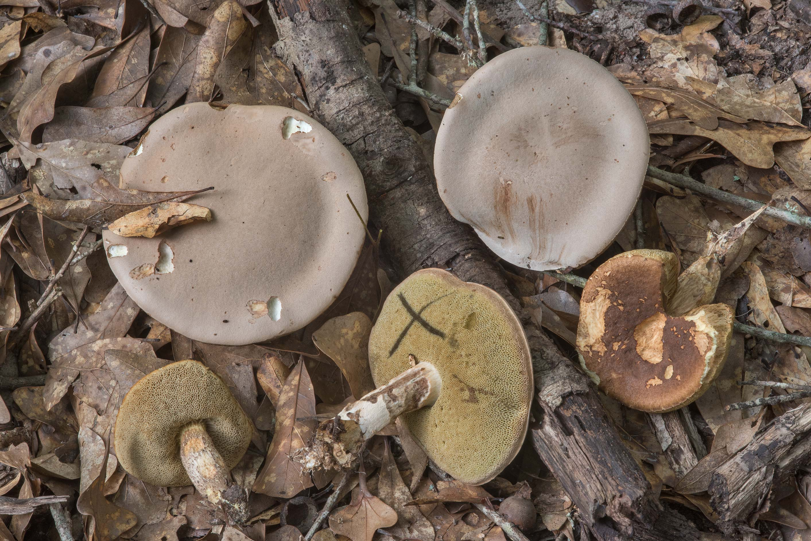 Pallid bolete mushrooms (Boletus pallidus) in Lick Creek Park. College Station, Texas