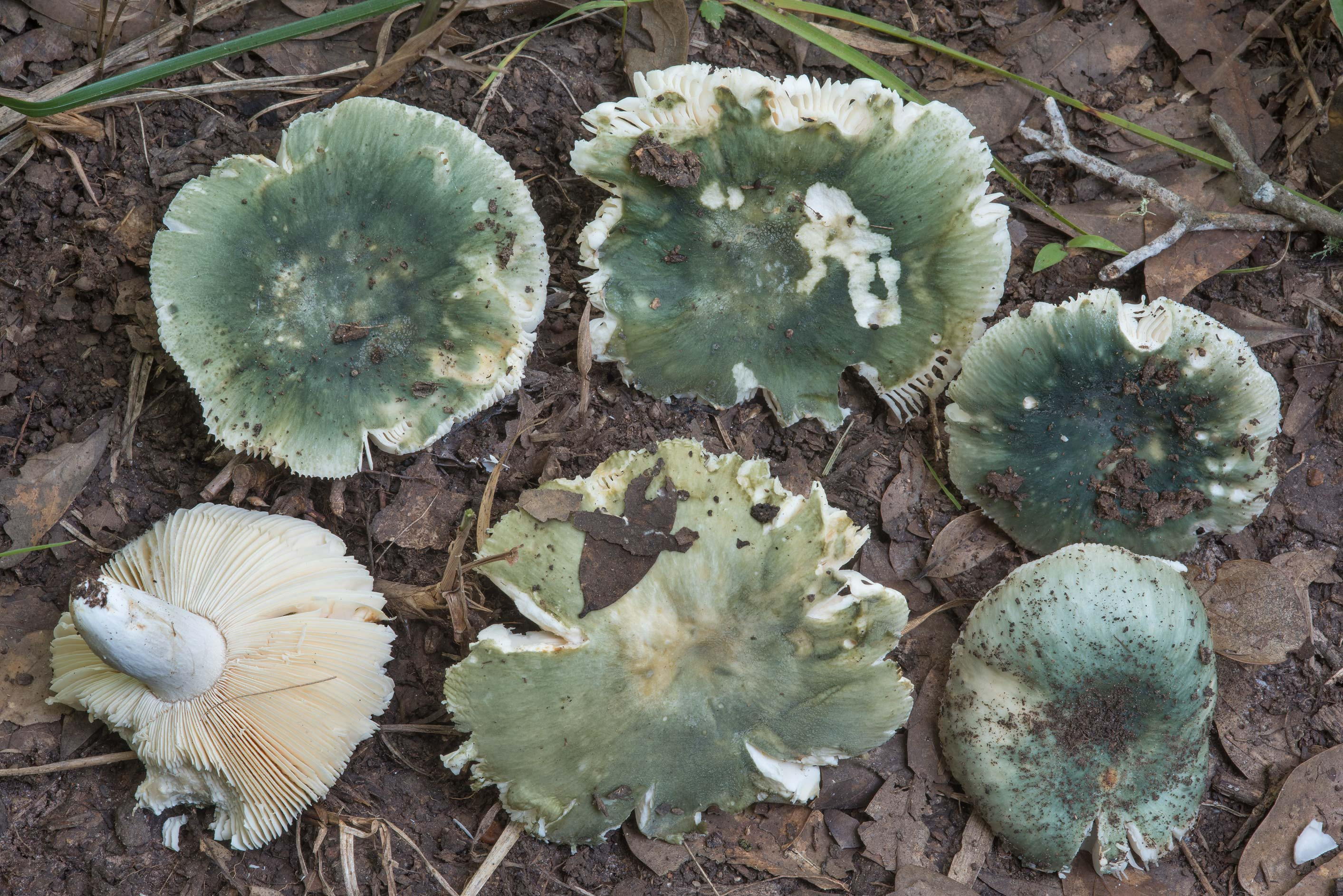 Group of turquoise brittlegill mushrooms (Russula...Creek Park. College Station, Texas