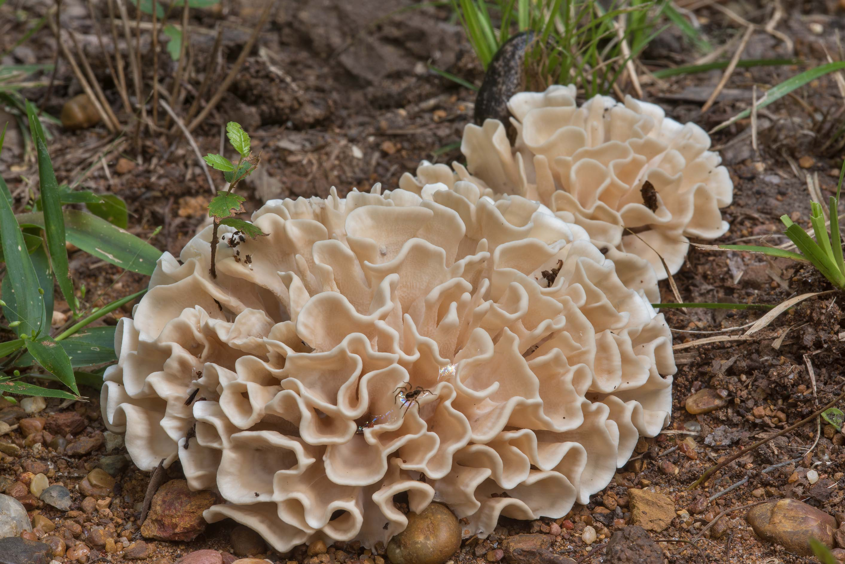 Side view of Hydnopolyporus palmatus mushrooms on...Creek Park. College Station, Texas