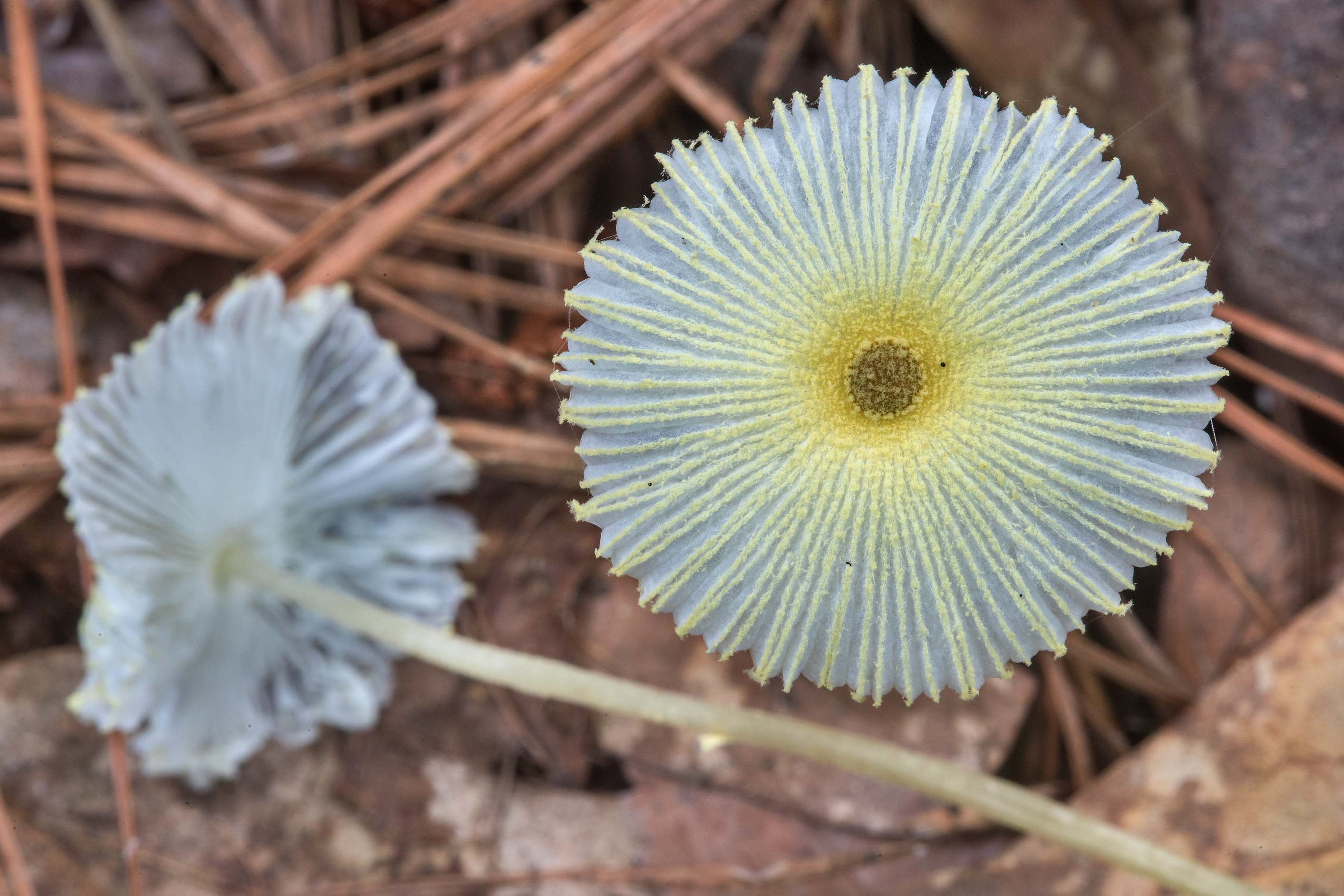 Pleated cap of fragile dapperling mushrooms...Forest, near Huntsville. Texas