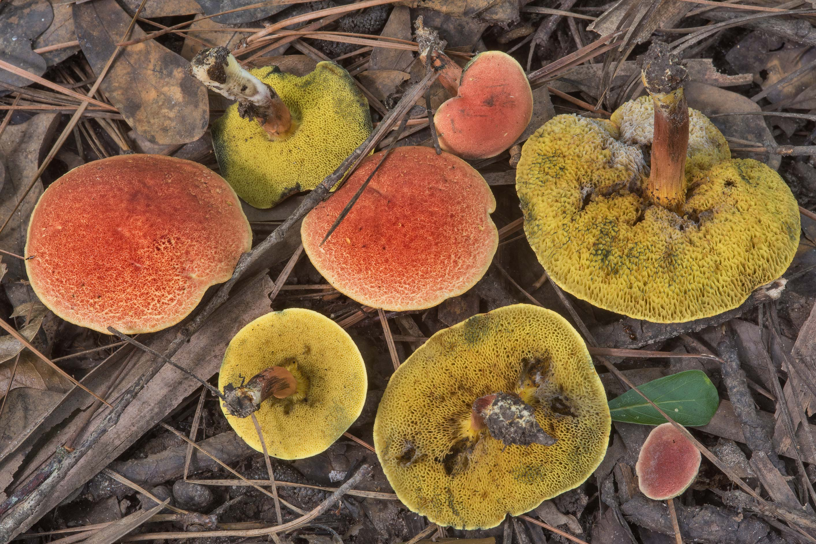 Group of ruby bolete mushrooms (Hortiboletus...Forest, near Huntsville. Texas