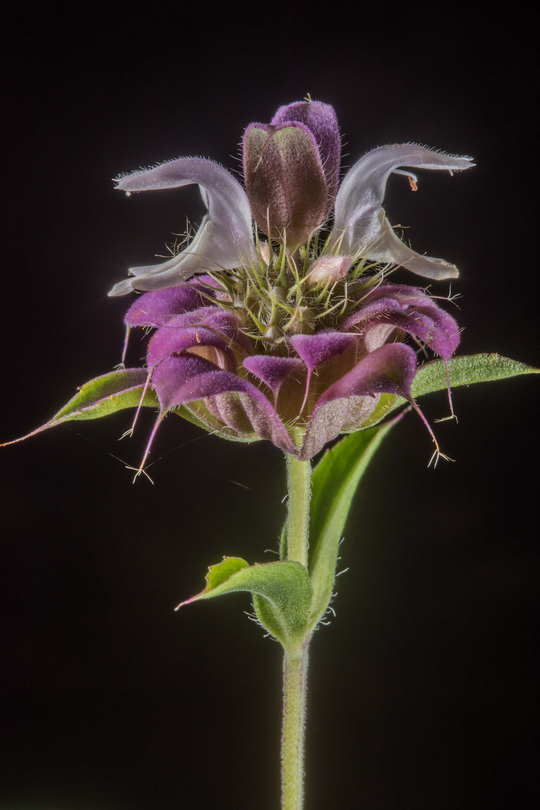 Blooming beebalm (Monarda punctata) in David E...Ashburn St.. College Station, Texas