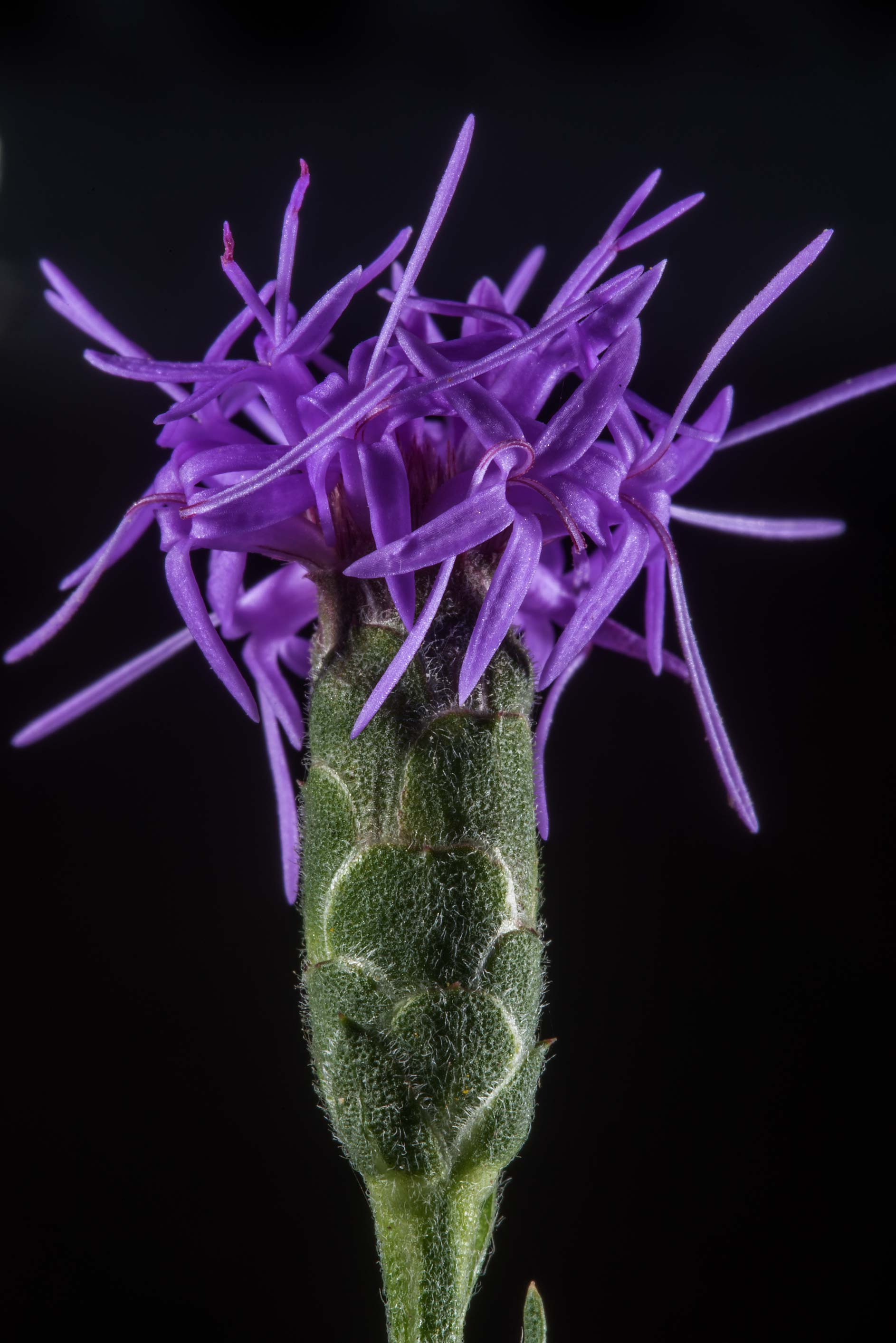 Flower of branched blazing star (Aggie-land...Ashburn St.. College Station, Texas