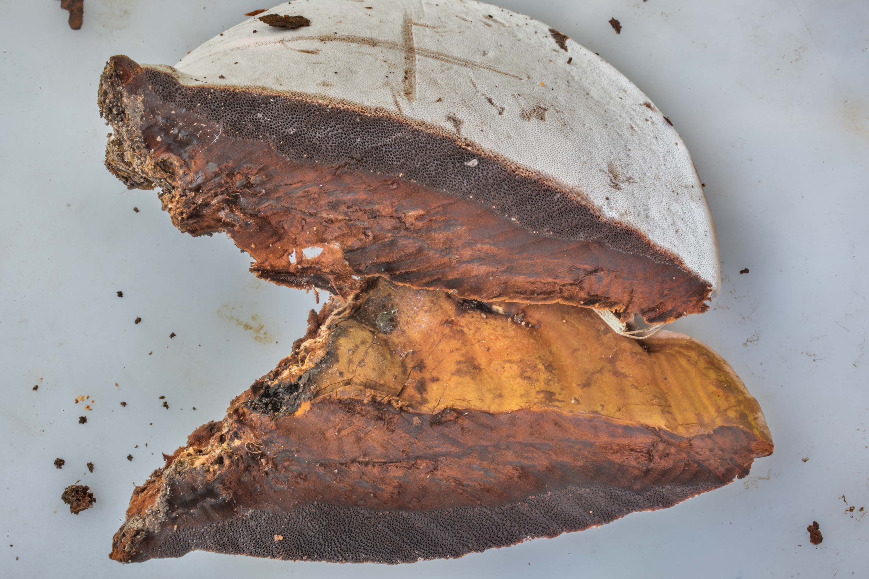 Cross section of a bracket mushroom Ganoderma...Creek Park. College Station, Texas