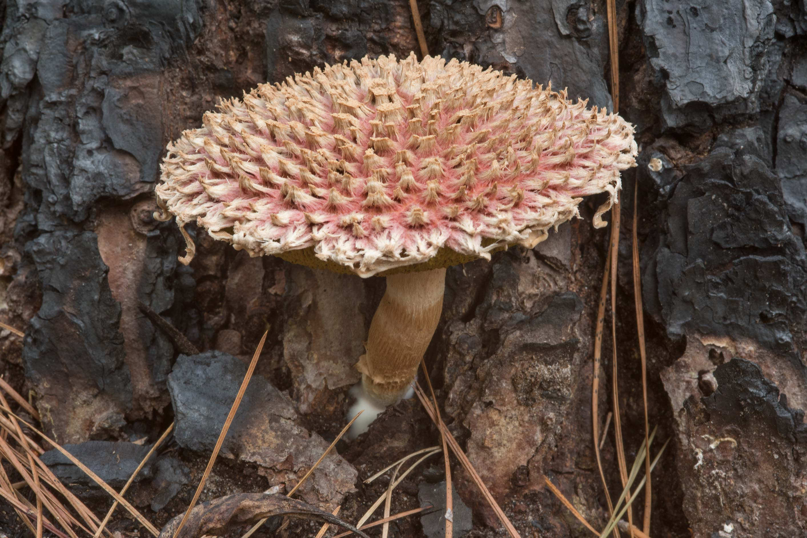 Pineapple bolete mushroom (Boletellus ananas...National Forest near Huntsville, Texas
