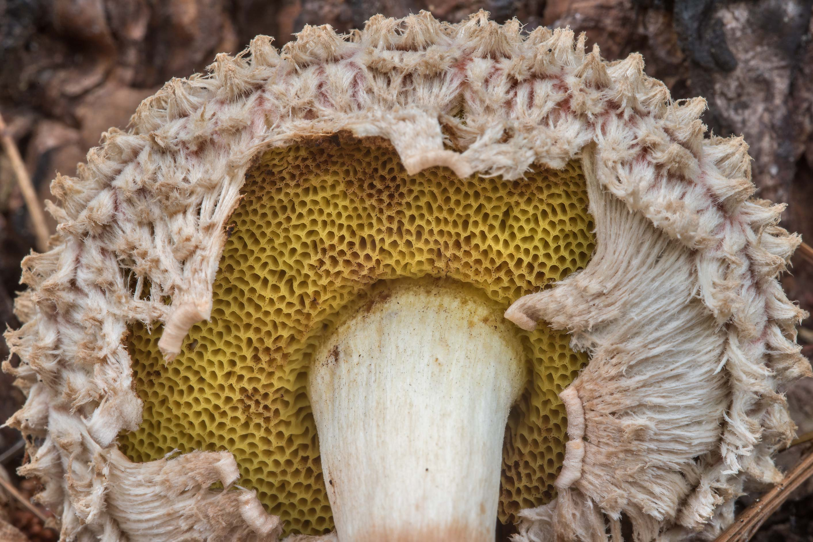 Pores and remains of veil of pineapple bolete...National Forest near Huntsville, Texas