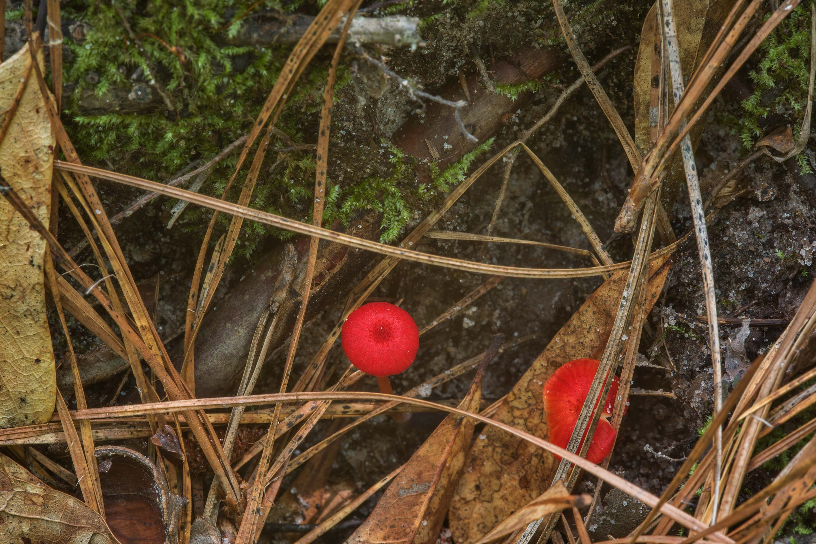 Tiny red waxcap mushrooms Hygrocybe subsect...National Forest near Huntsville, Texas