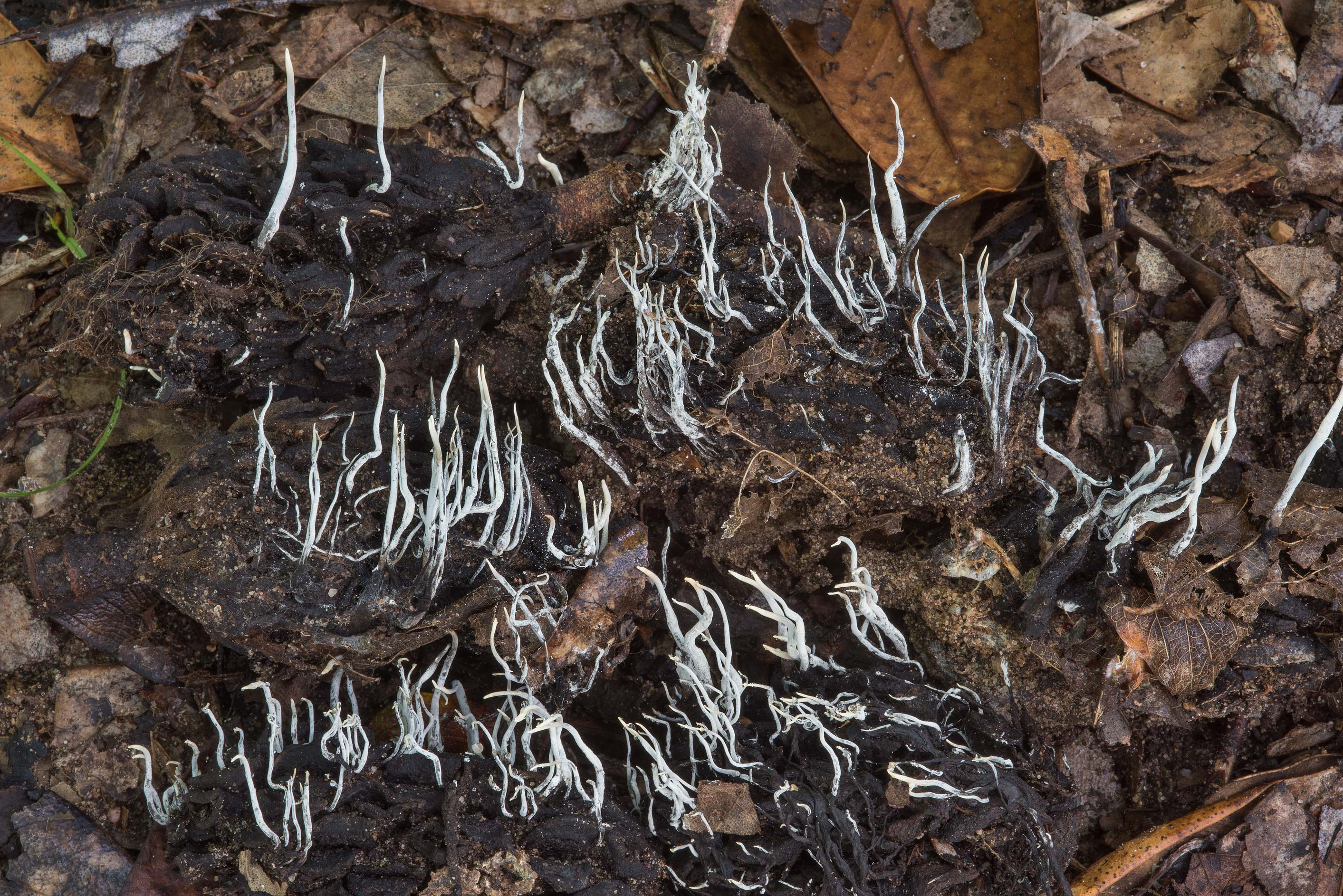 Masses of Xylaria magnoliae mushrooms on a...State Historic Site. Washington, Texas