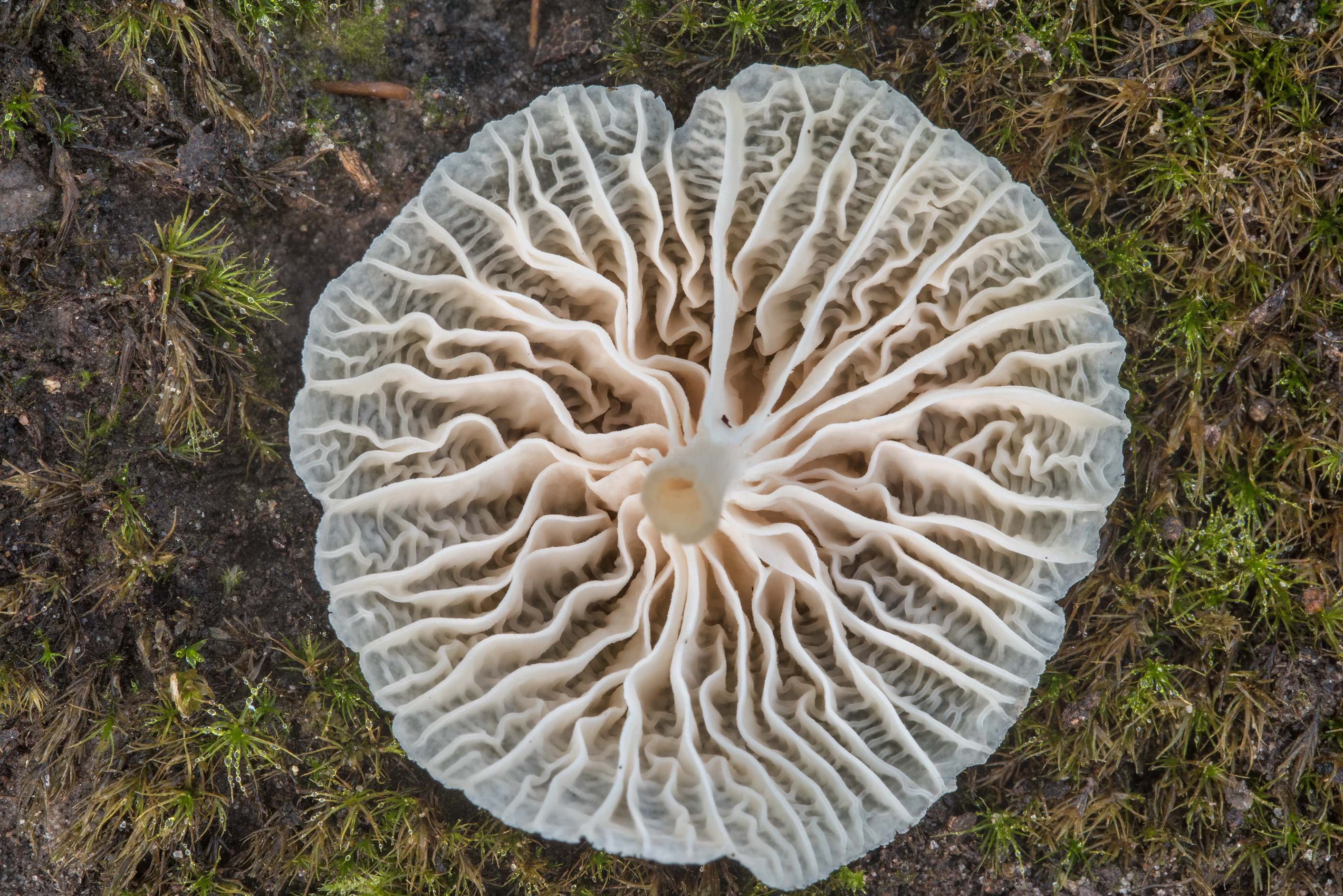 Gills of Marasmiellus mushroom in Lick Creek Park. College Station, Texas
