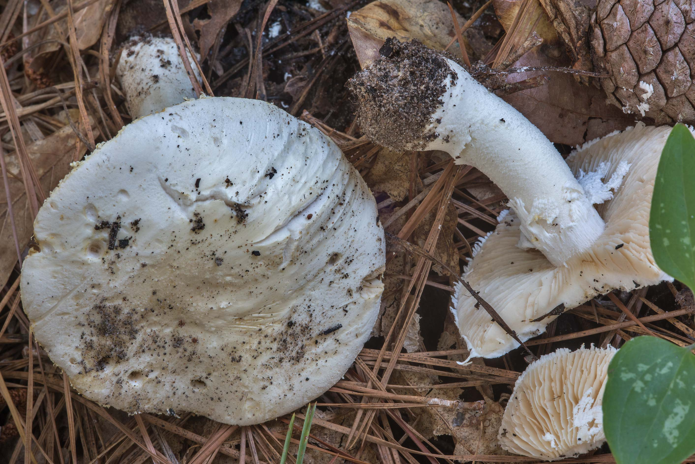 Soft white American solitary Lepidella mushrooms...National Forest near Huntsville, Texas