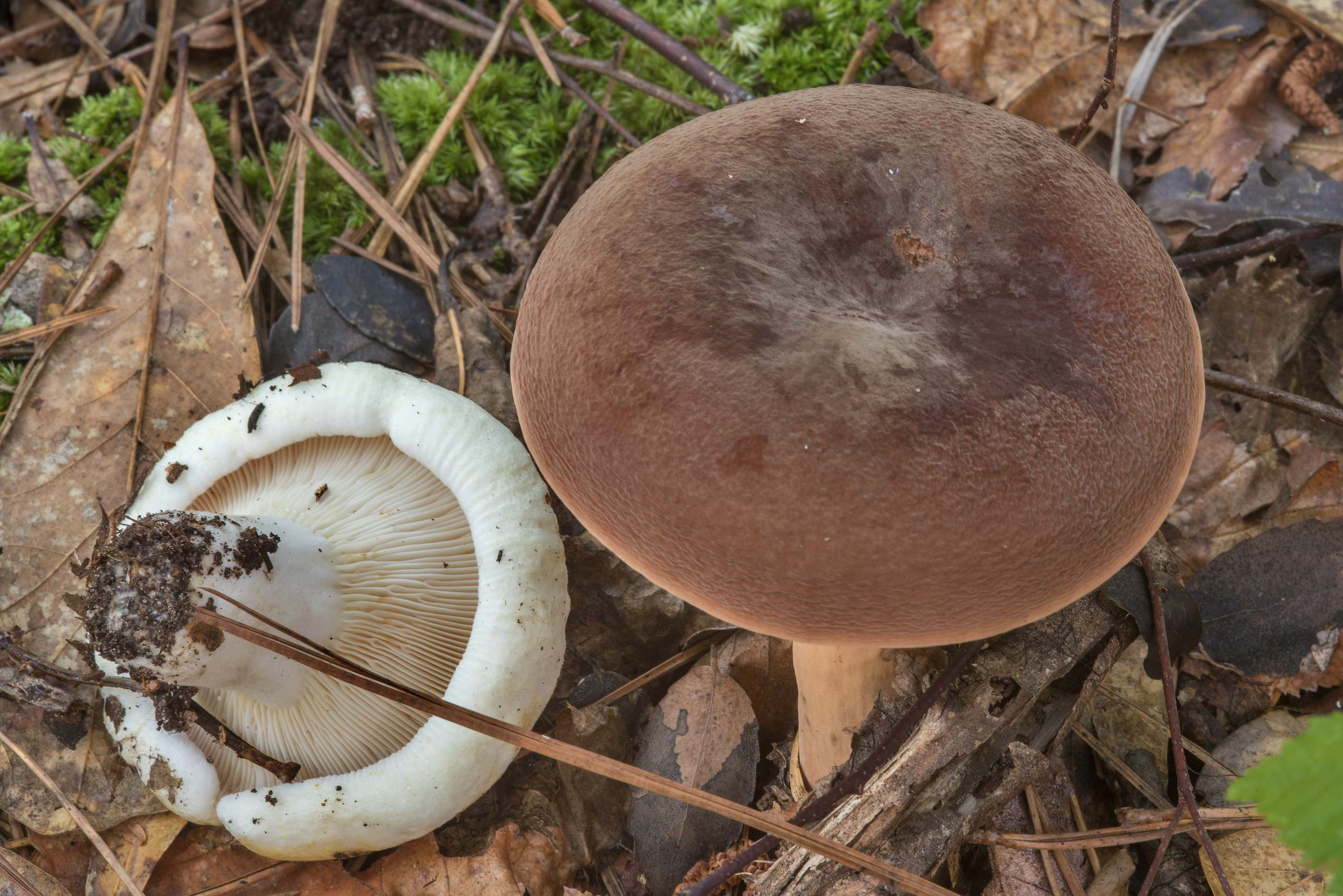 Corrugated-cap milky mushroom together with...National Forest near Huntsville, Texas