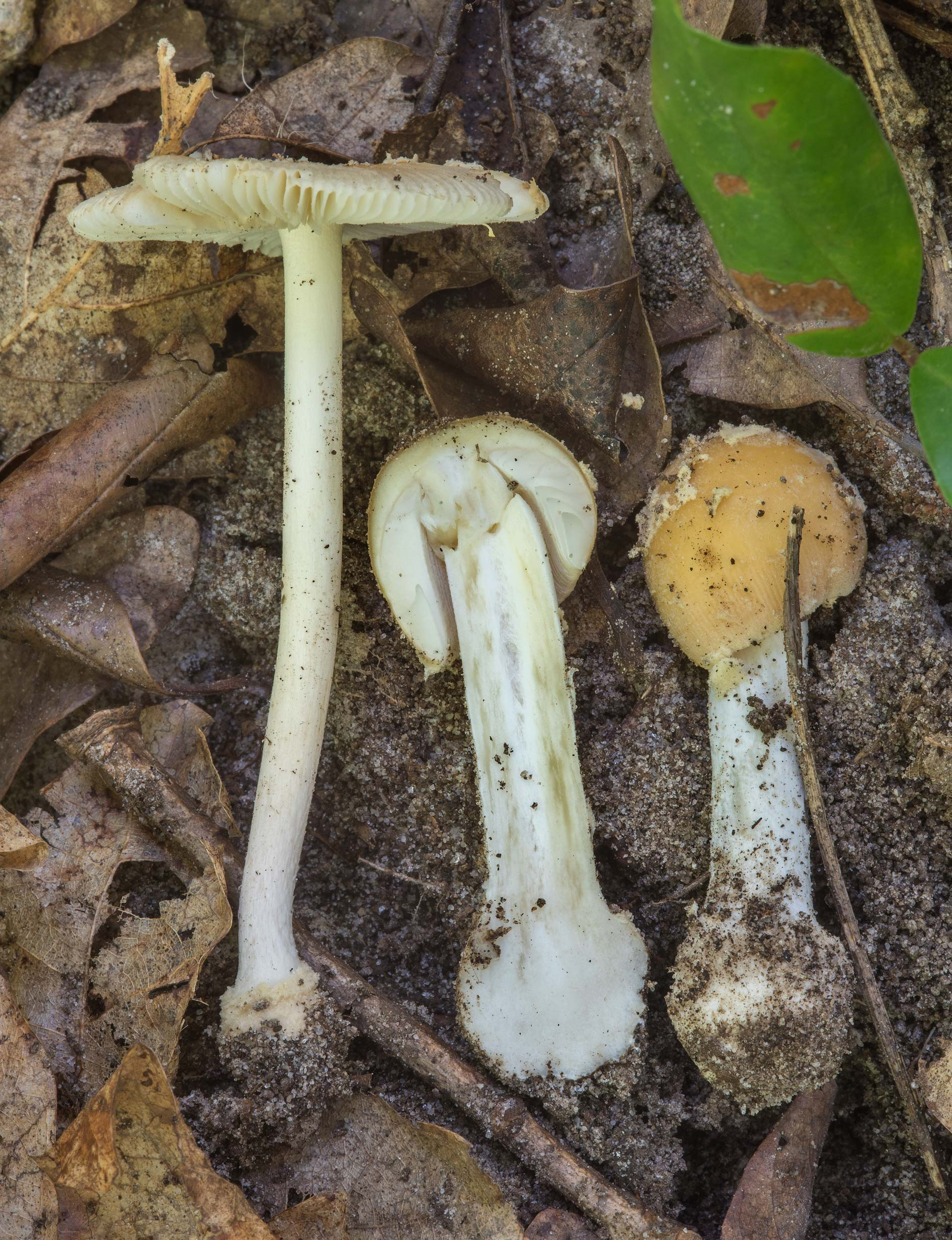 Dissected mushrooms Amanita sect. Amanita in Big...National Forest. Shepherd, Texas
