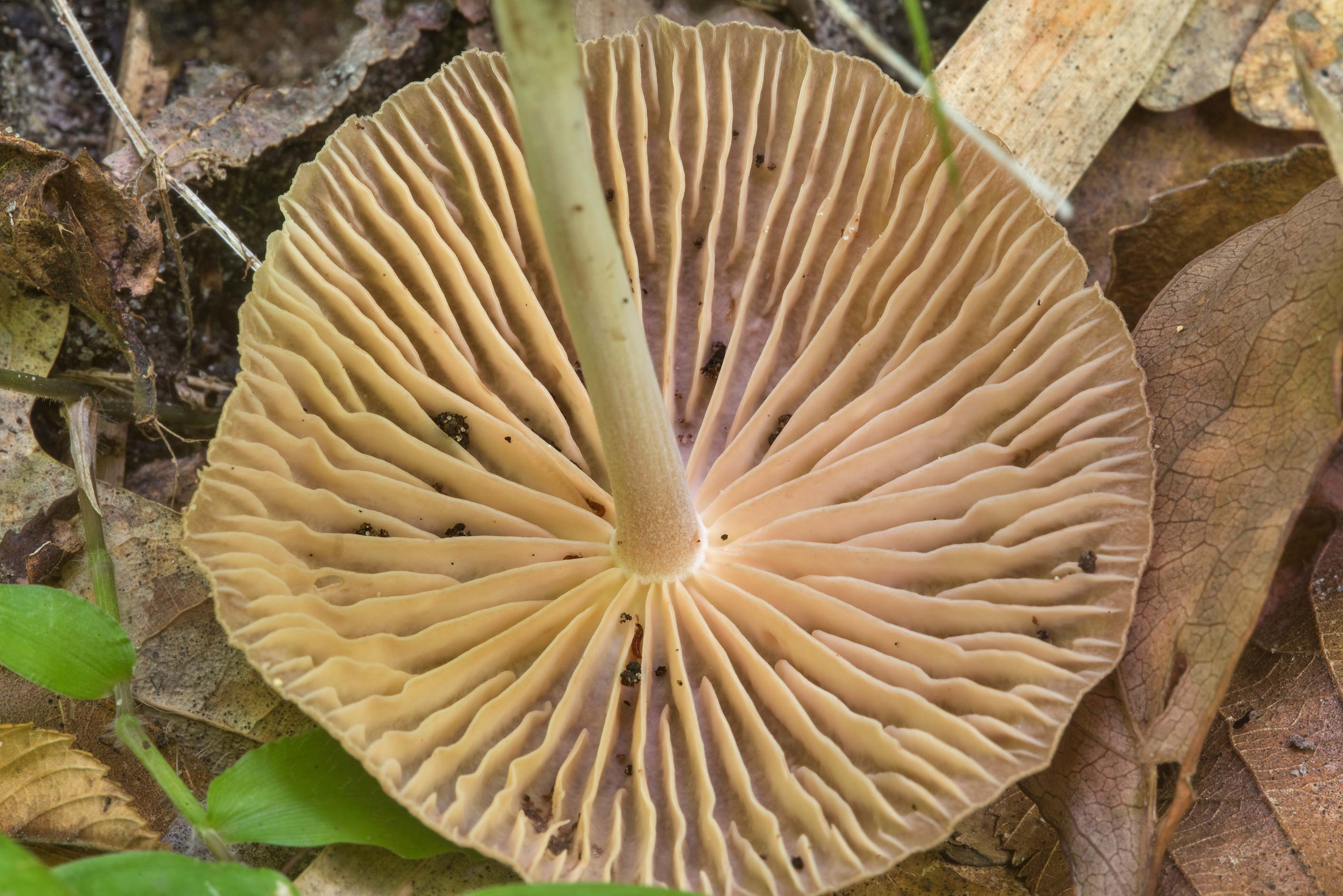 Gills of Gymnopus foetidus mushroom on Caney...Forest, near Huntsville. Texas