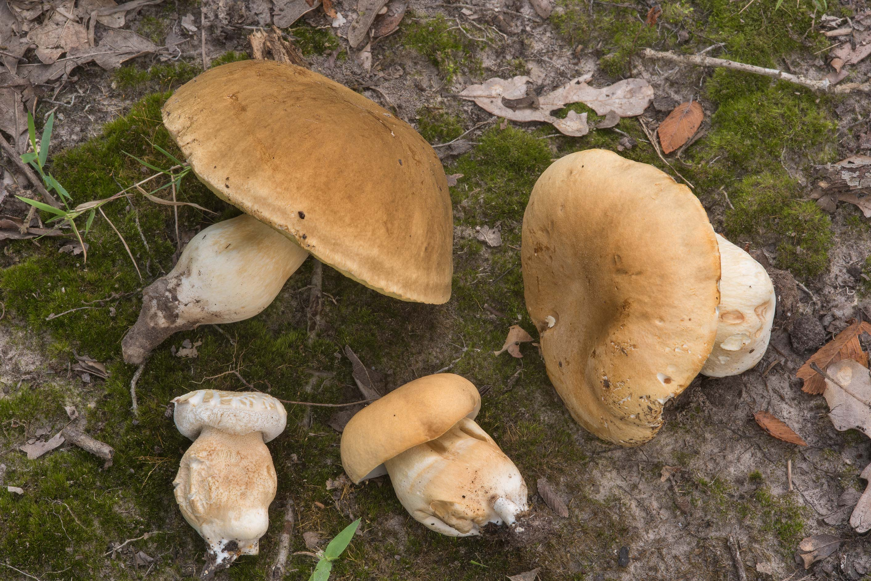 Porcini mushrooms (Boletus edulis group) under...Creek Park. College Station, Texas