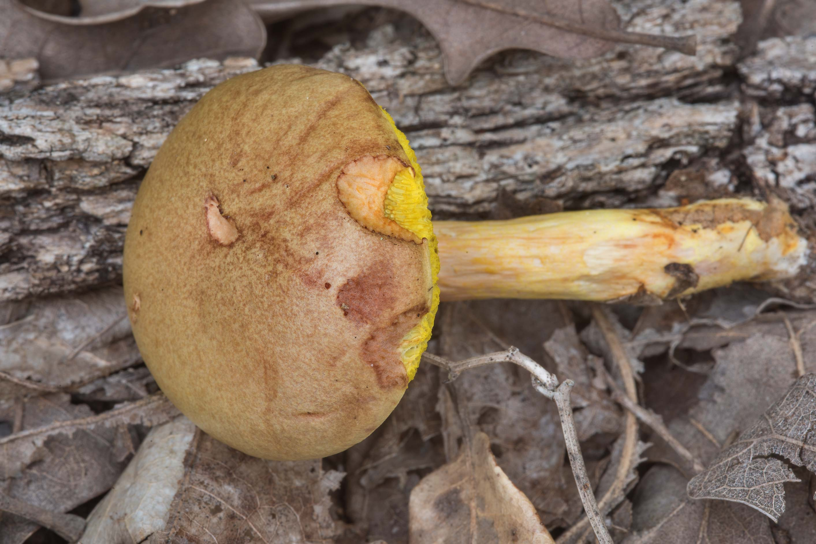 Bolete mushroom Aureoboletus auriporus in Lick Creek Park. College Station, Texas