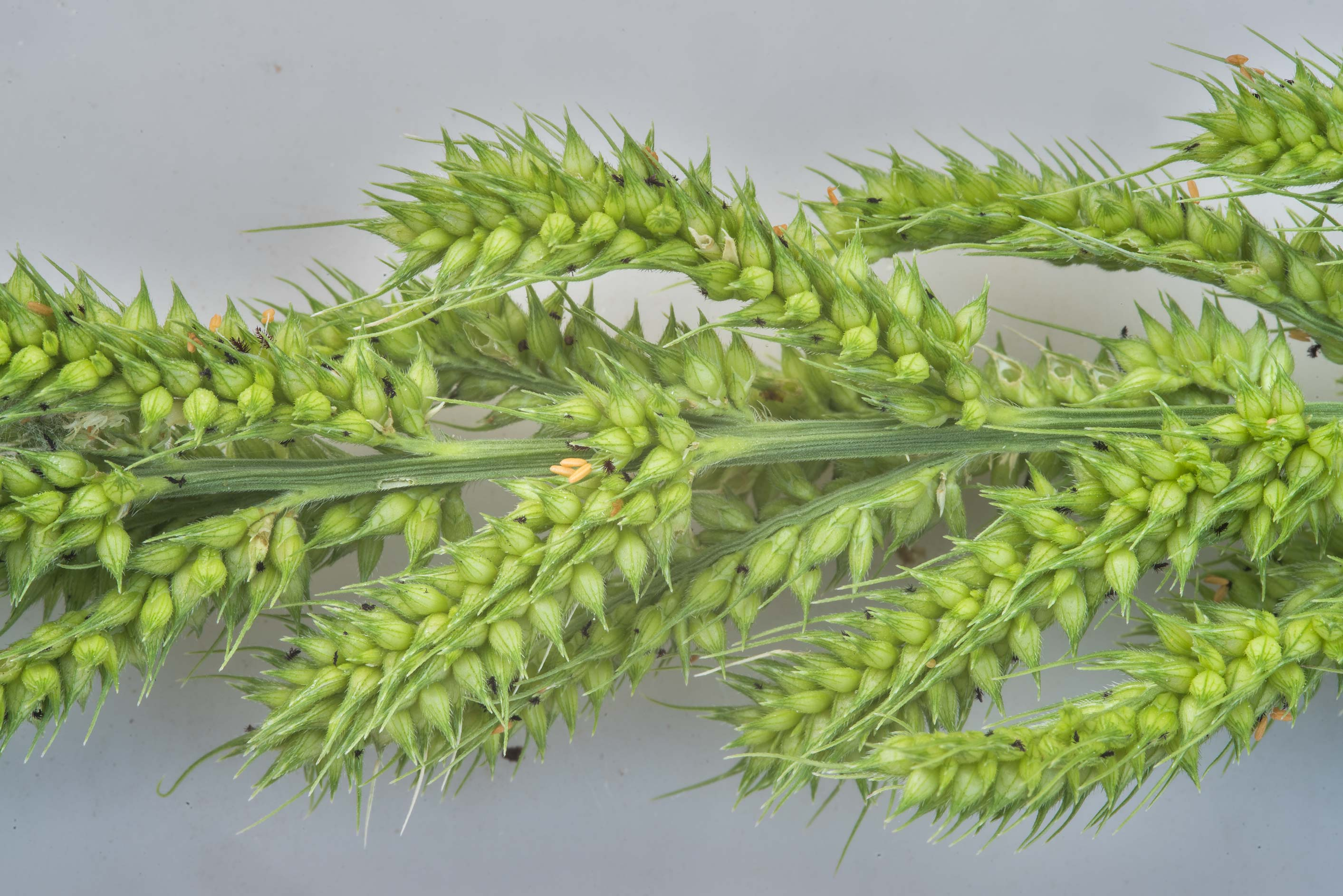 Spikelet of rough barnyard grass (wild millet...Creek Park. College Station, Texas