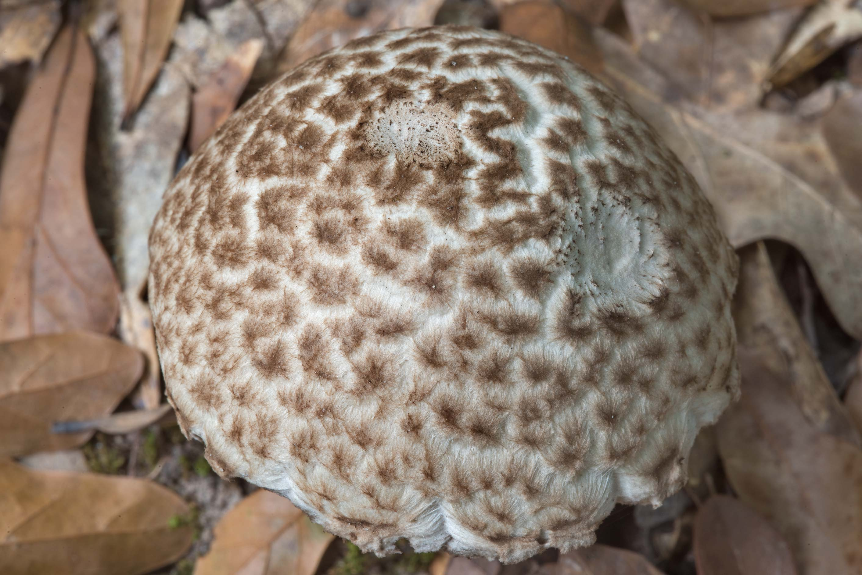 Round scaly cap of bolete mushroom Strobilomyces...Creek Park. College Station, Texas